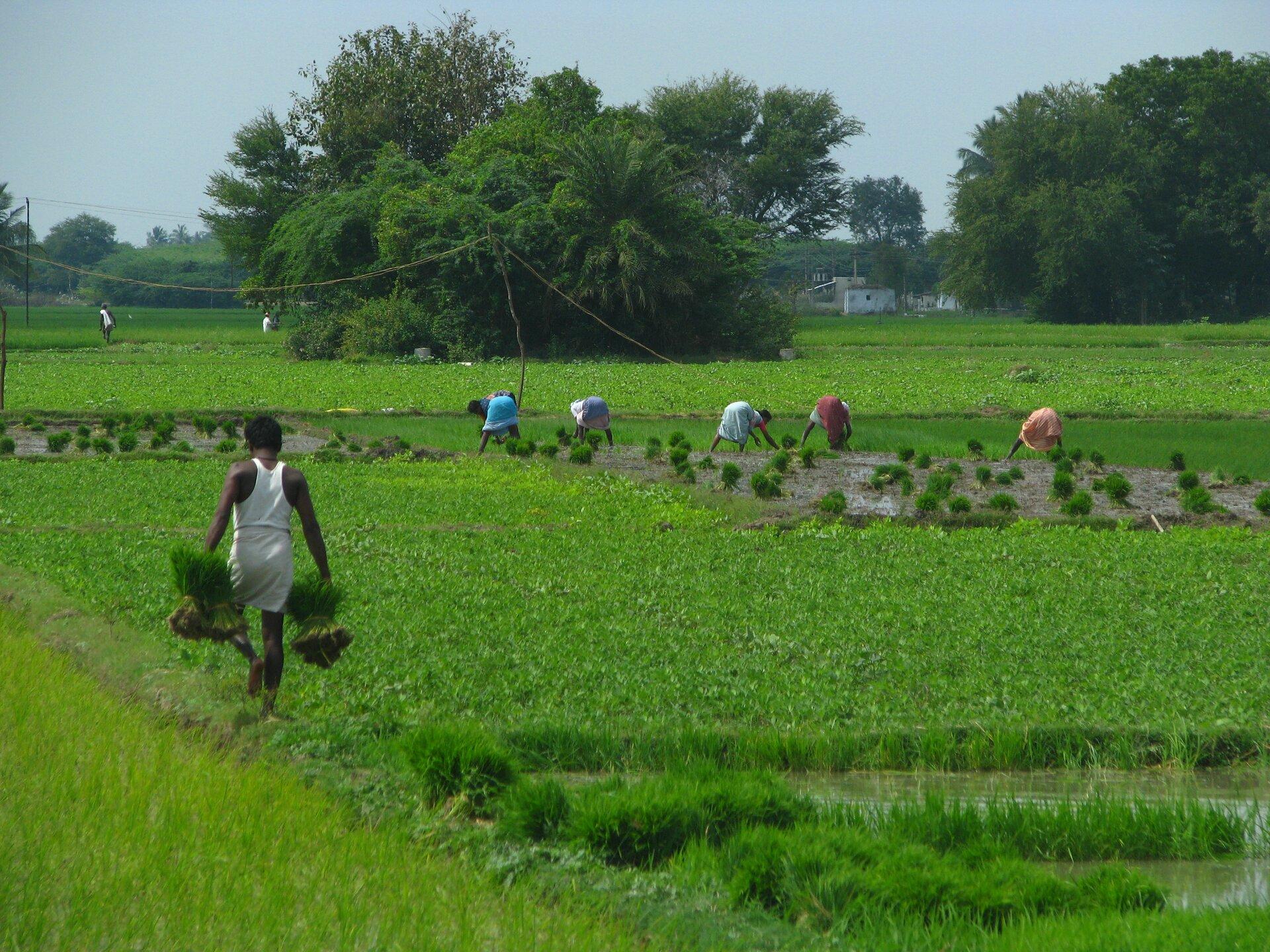 Na zdjęciu kilka osób sadzi sadzonki ryżu na rozległym podmokłym polu. Wtle drzewa.