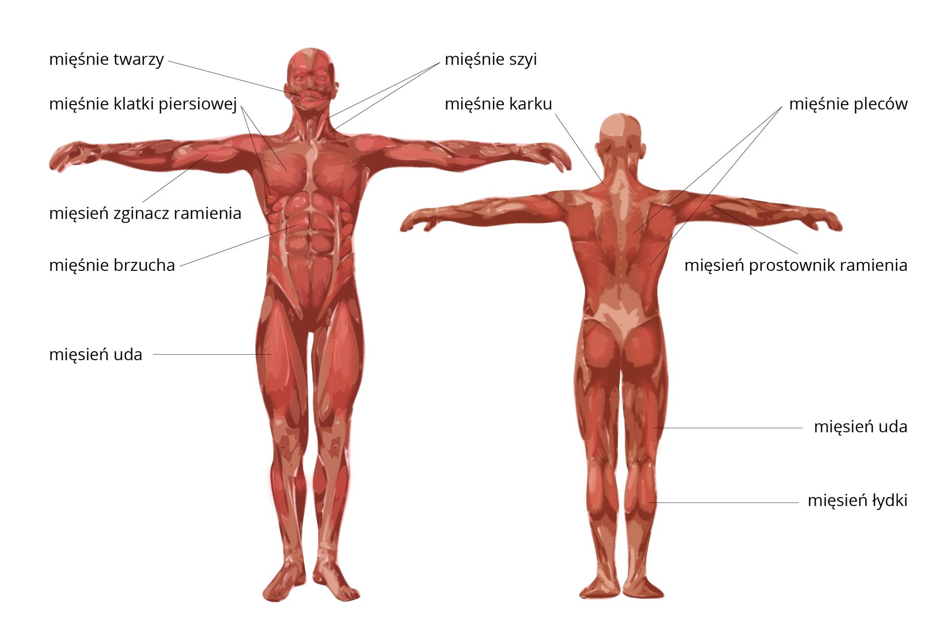 Ilustracja przedstawia budowę układu mięśniowego człowieka. Po lewej stronnie sylwetka człowieka pokazana zukładem mięśniowym od przodu. Opisano mięśnie: twarzy, szyi, karku, klatki piersiowej, mięsień zginacz ramienia, mięśnie brzucha oraz mięsień uda. Po prawej stronie sylwetka człowieka pokazana zukładem mięśniowym od tyłu. Opisano mięśnie: pleców, mięsień prostownik ramienia, mięśnie uda oraz łydki.
