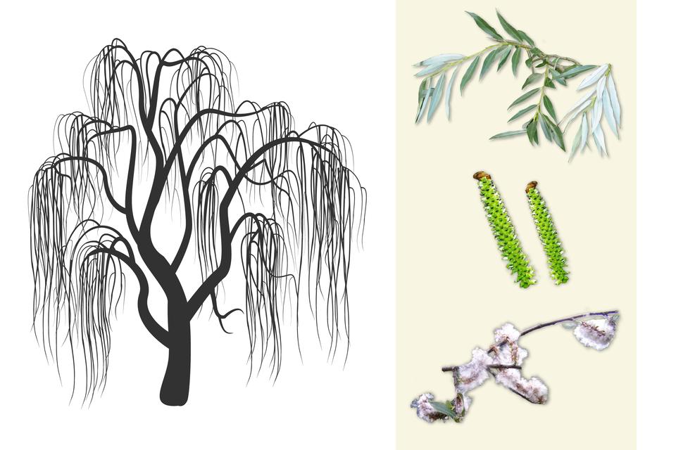 Ilustracja przedstawia ciemno szarą sylwetkę wierzby zwanej płaczącą. Po prawej od góry: gałązka zdługimi, wąskimi ciemno zielonymi liśćmi. Wśrodku zbliżenie pałeczkowatych, jasnozielonych owocostanów. Poniżej gałązka zokrytymi białym puchem kwiatostanami wierzby.