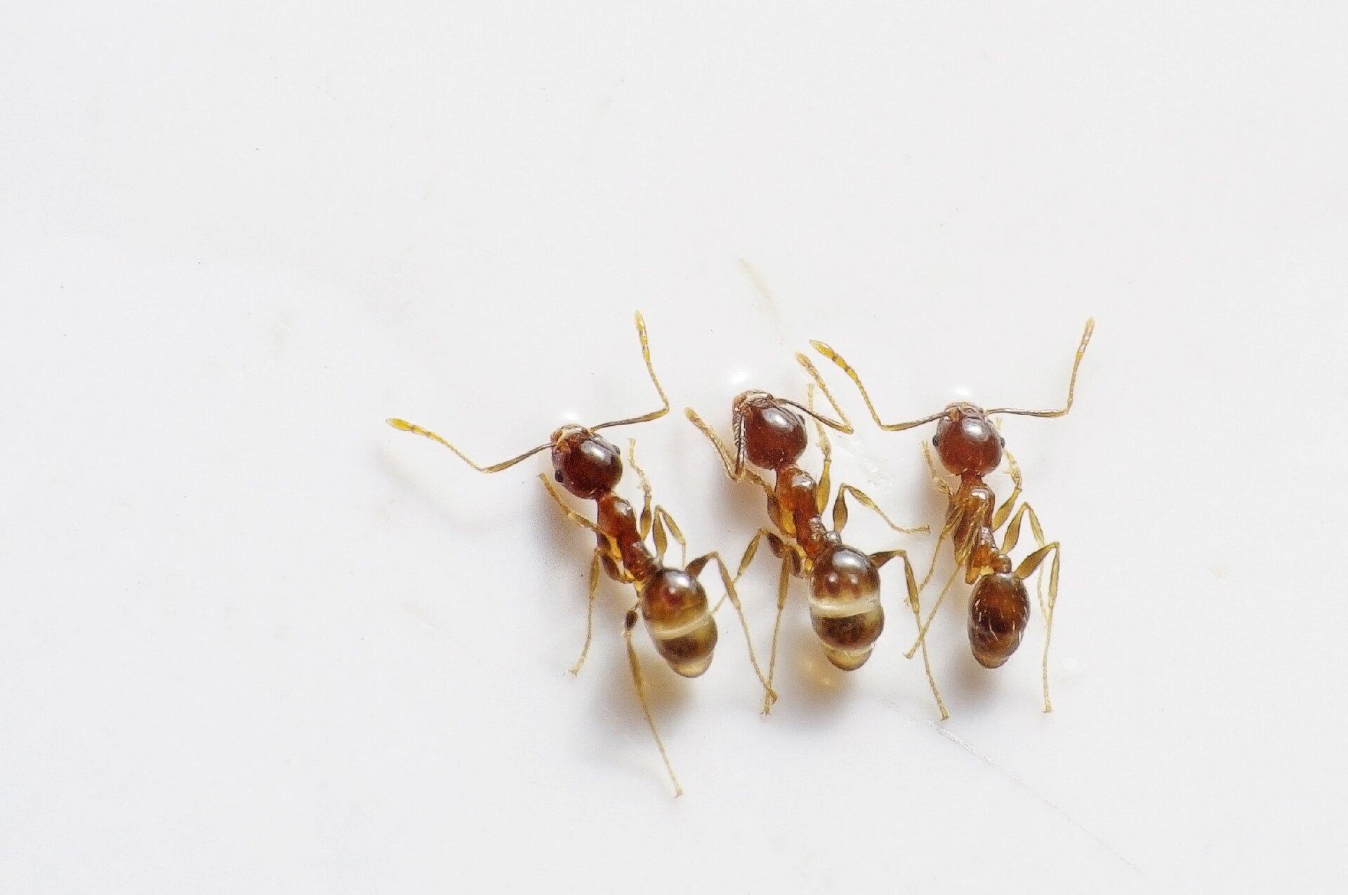 Kwas mrówkowy występuje wjadzie mrówek