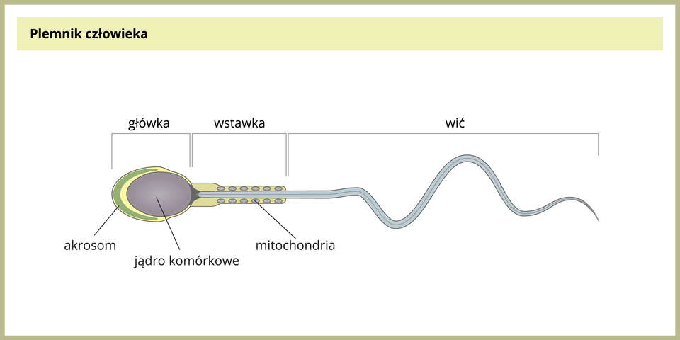 Ilustracja przedstawia poziomo wydłużony plemnik. Ugóry podpisane części: główka, wstawka, wić. Zlewej na główce zielony akrosom. We wnętrzu duże fioletowe jądro komórkowe. We wstawce liczne niebieskie, okrągłe mitochondria.
