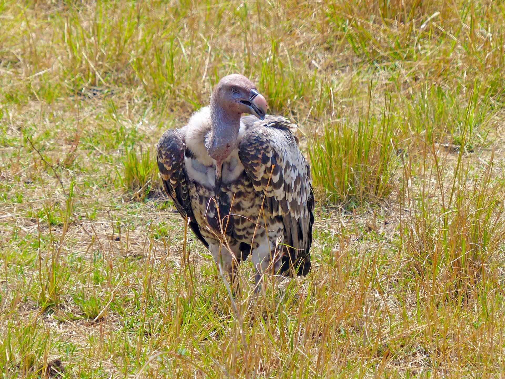 Fotografia przedstawia sępa siedzącego na trawie. Sęp ma dużą głowę zwróconą wprawo, zmocnym, czarnym dziobem. Głowa iszyja są pozbawione piór. Ptak siedzi na ziemi. Pióra są ciemnobrązowe wbiałymi końcówkami.