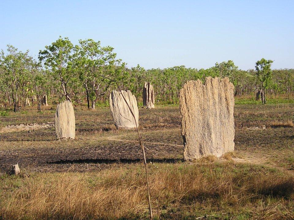Galeria fotografii prezentuje efekty działalności organizmów żywych. Fotografia przedstawia pionowe termitiery na otwartej przestrzeni.