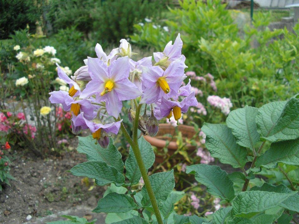 Fotografia przedstawia bladofioletowy kwiat ziemniaka.
