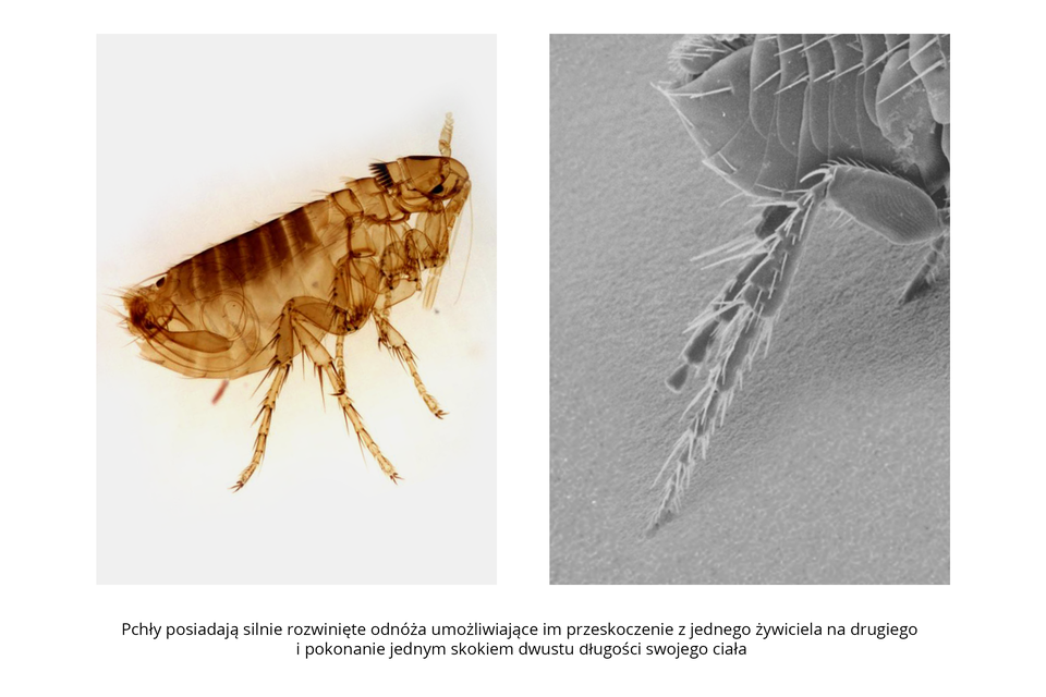 Wgalerii znajdują się pary fotografii, przedstawiające różne owady iich larwy. Fotografia mikroskopowa zlewej przedstawia brązową, półprzezroczystą pchłę. Głowa wprawo, lekko do góry. Skrzydeł brak, odwłok segmentowany. Udołu silne, długie odnóża zwłoskami ipazurkami. Dzięki nim pchła może skoczyć na odległość dwustu długości ciała. Zprawej szara fotografia zmikroskopu elektronowego przedstawia zbliżenie tylnych odnóży pchły. Ugóry poziomo końcówka odwłoka, segmenty ze szczecinkami. Dwa odnóża członowane, zwłoskami, na ukos wlewo wdół.