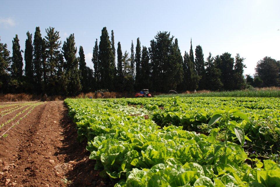 Fotografia przedstawia fragment pola. Na pierwszym planie widoczne grządki zielonej sałaty. Wtle rząd drzew ztraktorem jadącym wzdłuż nich.
