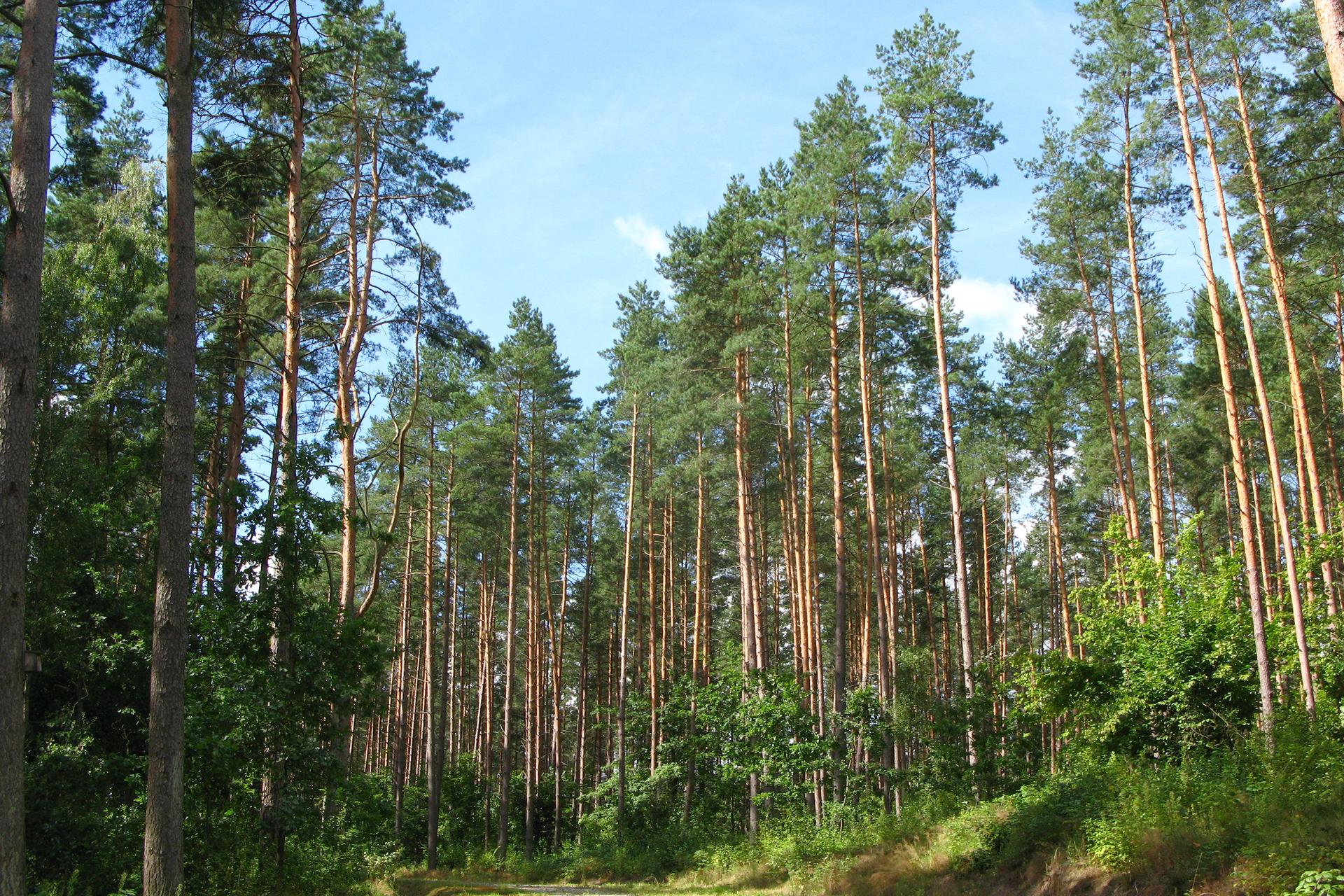 Fotografia przedstawia bór sosnowy wsłoneczny dzień. Liczne drzewa mają smukłe, wysokie pnie ojasno brązowej korze. Korony luźne, jasno zielone. Wwarstwie poszytu krzewy, wrunie trawa ikrzewinki.