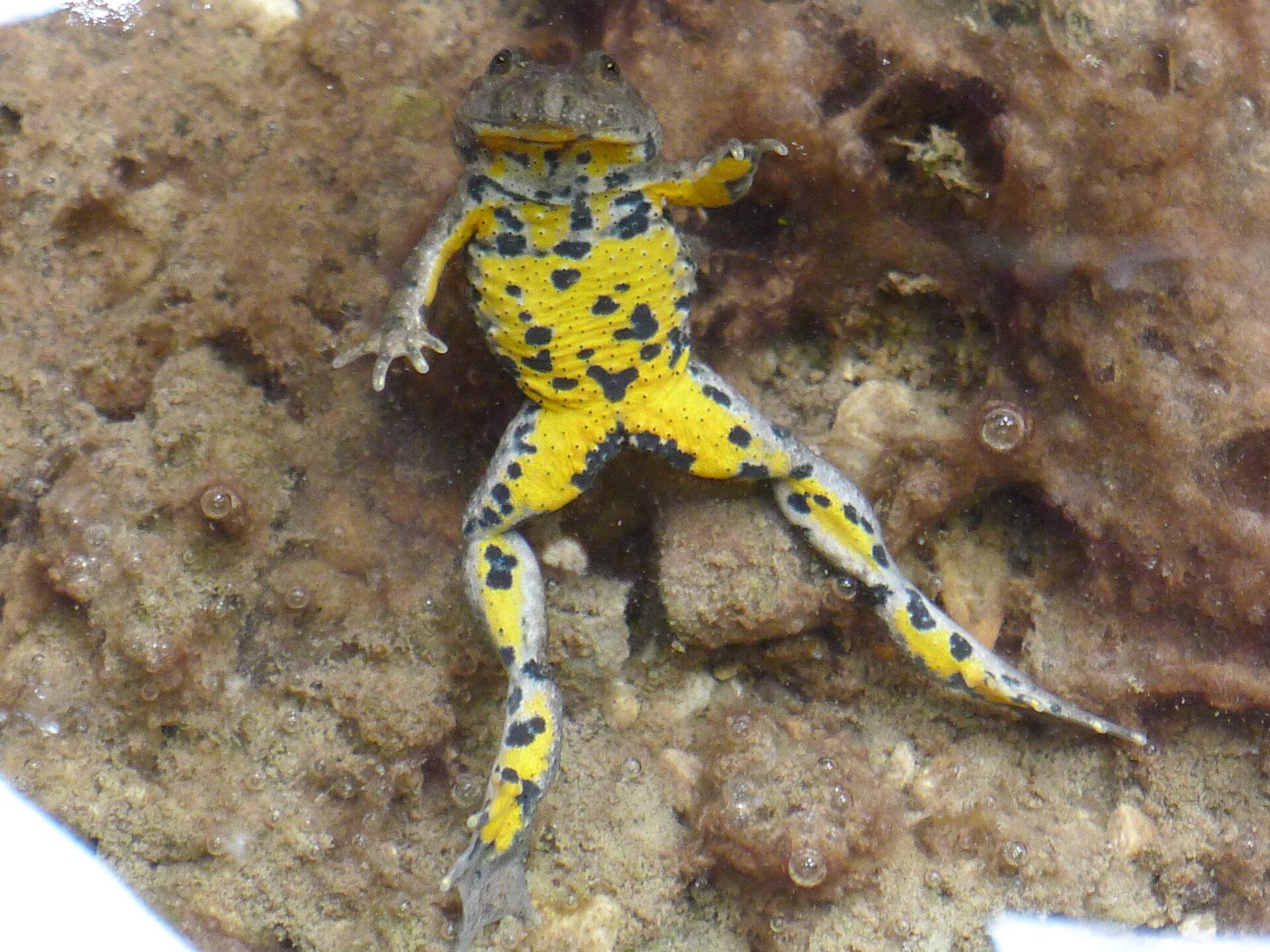 Fotografia przedstawia żółto-szarego płaza zczarnymi plamami, czyli kumaka górskiego. Znajduje się wwodzie, odwrócony na stronę brzuszną. Ma wyciągnięte tylne nogi, aprzednie uniesione. Ugóry zdjęcia pysk ioczy.