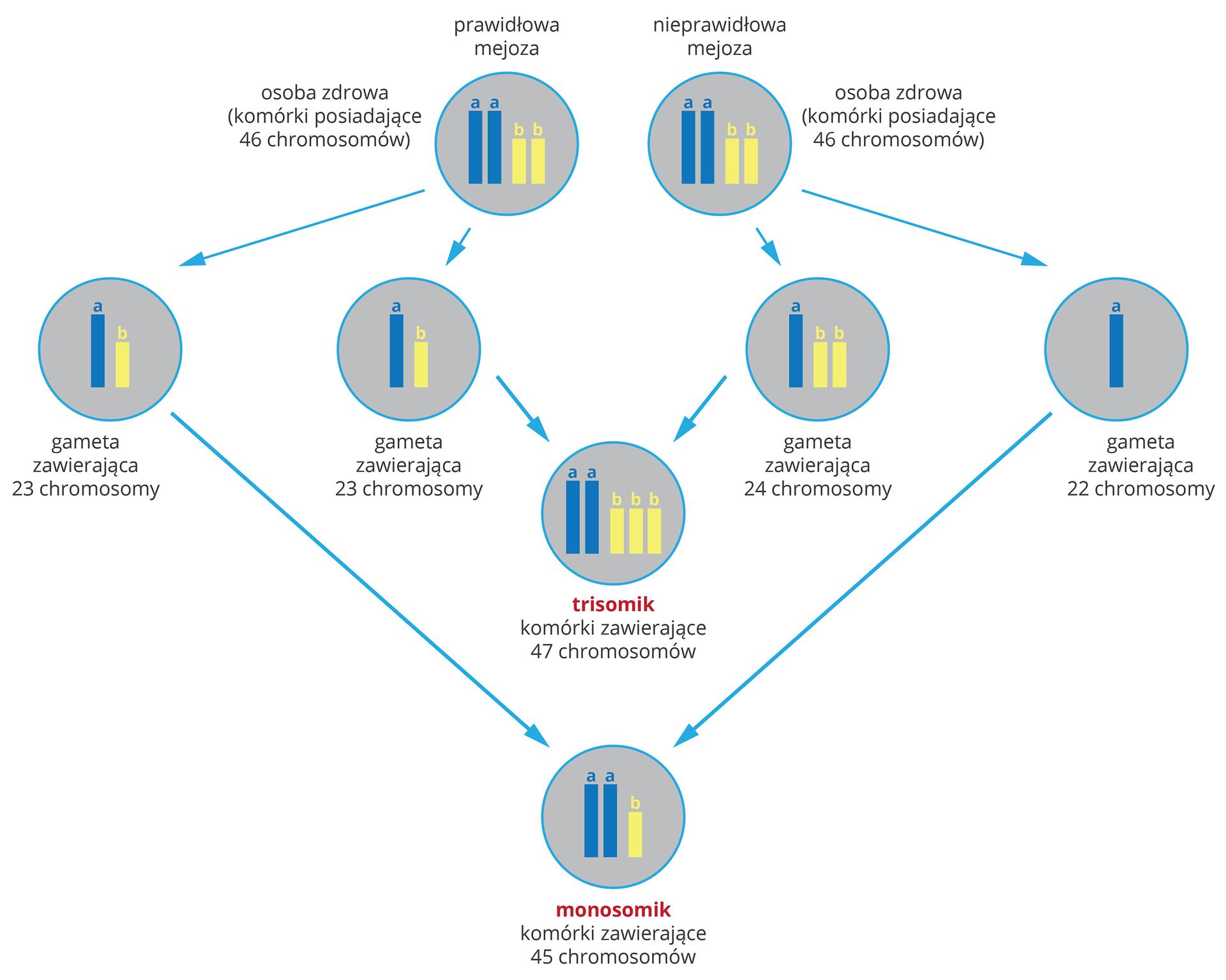 Ilustracja przestawia schemat powstawania mutacjichromosomowych wformie szarych kół zniebieskimi iżółtymi chromosomami. Ugóry dwie takie same komórki, 46 chromosomów. Ta zlewej przechodzi prawidłowy podział mejotyczny ijej gamety mają po 23 chromosomy. Ta zprawej ma nieprawidłowa mejozę. Jedna gameta ma 24, druga 22 chromosomy. Wwyniku połączenia gamet prawidłowych znieprawidłowymi otrzymamy dwie mutacje chromosomowe. Trisomik ma 47 chromosomów wkomórkach ciała. Monosomik ma 45 chromosomów wkomórkach ciała.
