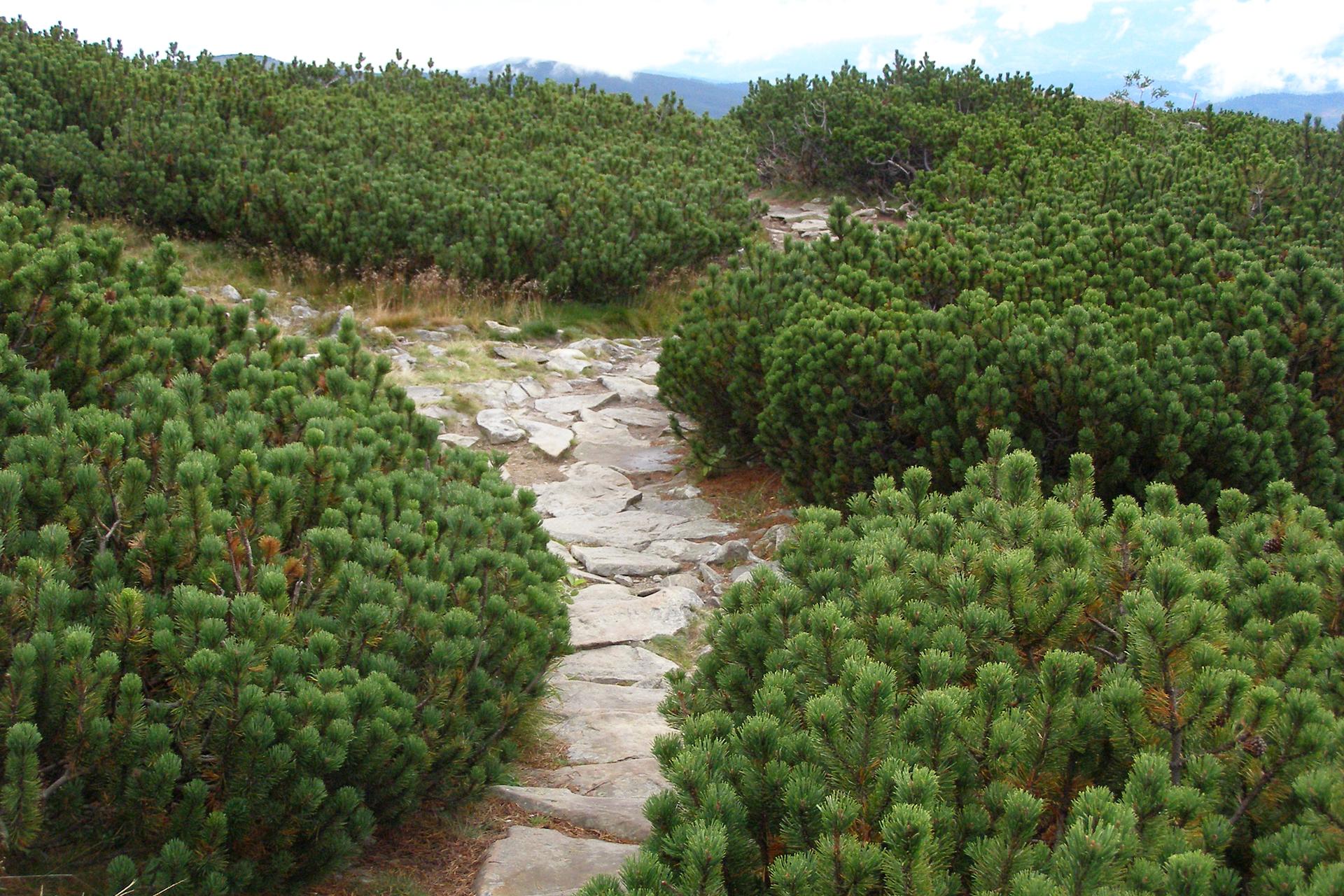 Fotografia prezentuje wygląd pietra kosodrzewiny. Na fotografii widoczna karłowata odmiana sosny, kosodrzewina.