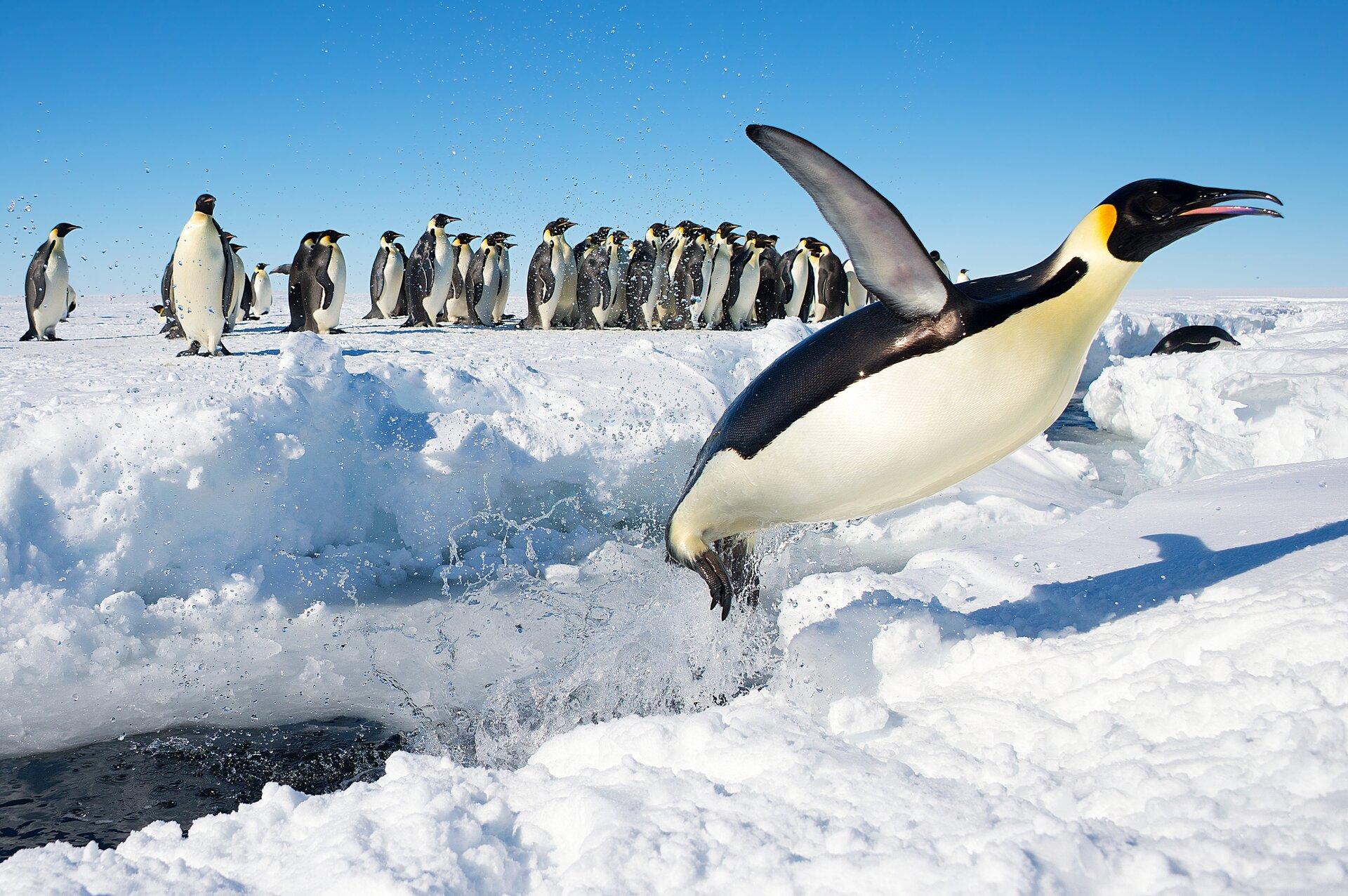Na zdjęciu pingwin wyskakujący zwody skutej lodem. Wtle stado pingwinów.