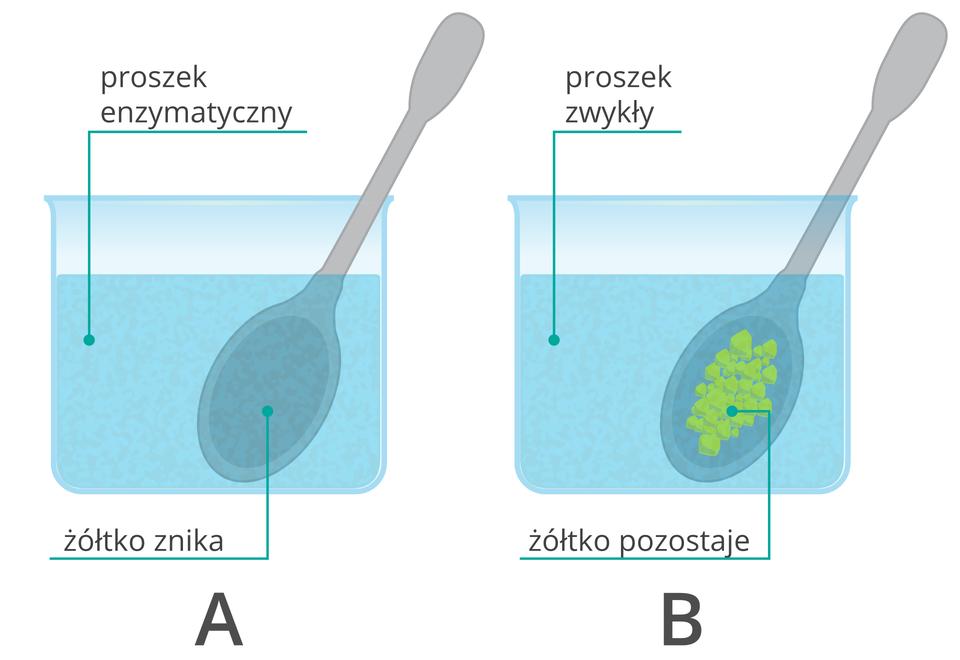 Wwodzie zproszkiem enzymatycznym żółtko rozpuszcza się (A), gdy dodany do wody proszek nie zawiera enzymów żółtko pozostaje na łyżeczce(B).Proteazy (enzymy) zawarte wproszku tną białka na mniejsze fragmenty, które są rozpuszczalne wwodzie