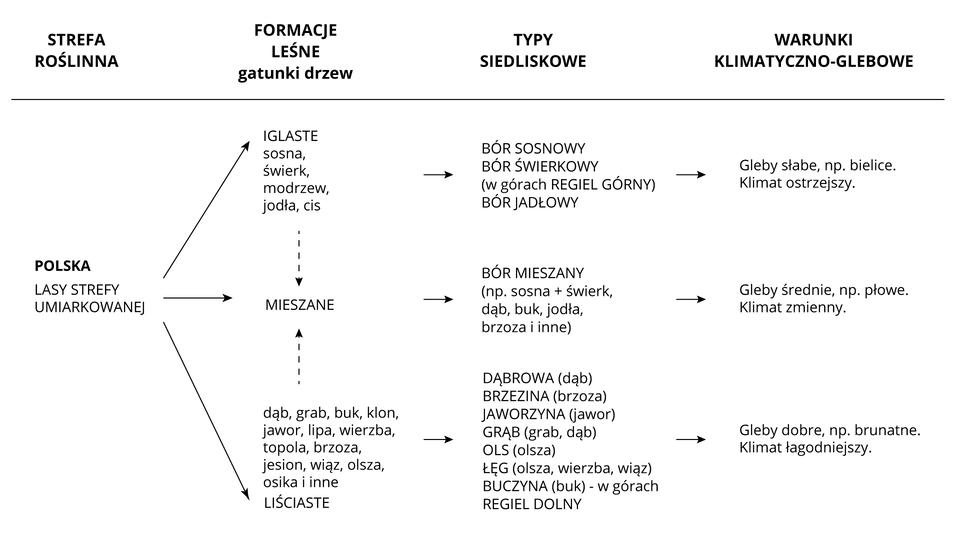 Na ilustracji schemat zależności między klimatem, glebami itypami lasów wPolsce. <table> <tr> <th>Strefa roślinna</th> <th>Formacje leśne/gatunki drzew</th> <th>Typy siedliskowe</th> <th>Warunki klimatyczno-glebowe</th> </tr> <tr> <td>Polska/<br />Lasy strefy umiarkowanej</td> <td> iglaste/<br /> sosna, świerk,<br />modrzew, jodła, cis</td> <td>bór sosnowy <br />bór świerkowy<br />w górach regiel górny<br />bór jodłowy</td> <td>gleby słabe, np. bielice<br />klimat ostrzejszy</td> </tr> <tr> <td>mieszane</td> <td>bór mieszany<br />np. sosna+świerk, dąb, buk,<br />jodła, brzoza iinne</td> <td>gleby średnie, np.<br />płowe<br />klimat zmienny</td> </tr> <tr> <td>liściaste/<br />dąb, grab, buk, klon,<br />jawor, lipa, wierzba,<br />topola, brzoza, jesion,<br />wiąz, olsza, osika </td> <td>dąbrowa (dąb)<br />brzezina (brzoza)<br />jaworzyna (jawor)<br />grąb (grab, dąb)<br />ols (olsza)<br />łęg (olsza, wierzba, wiąz)<br />buczyna (buk) – wgórach<br />regiel dolny</td> <td>gleby dobre, np.<br />brunatne<br />klimat łagodniejszy</td> </tr></table>