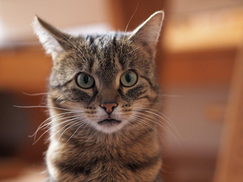Ilustracja ukazuje głowę kota zuszami skierowanymi na wprost. Zwierzę nasłuchuje odgłosu dobiegającego zprzodu.