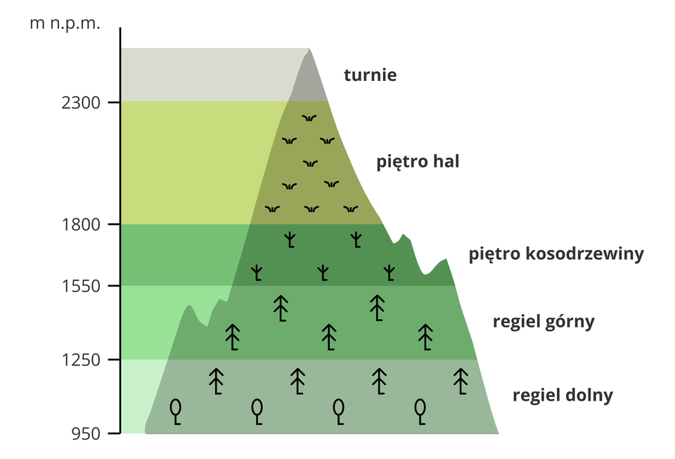 Ilustracja przedstawia schemat układu roślin wTatrach na różnych wysokościach. Po lewej stronie schematu pionowa oś liczbowa. Oś wskazuje wysokość pięter wmetrach nad poziomem morza. Piętra to poziome pasy wodcieniach zieleni. Najniższe piętro na wysokości dziewięćset pięćdziesiąt metrów to regiel dolny. Piktogramy lasów liściastych iiglastych. Drugie piętro na wysokości tysiąc dwieście pięćdziesiąt metrów. To regiel górny. Piktogramy lasów iglastych. Trzecie piętro kosodrzewiny na wysokości tysiąc pięćset pięćdziesiąt metrów. Na piętrze piktogramy małych krzewów. Czwarte piętro hal od wysokości tysiąc osiemset metrów. Ostatnie piętro to turnie powyżej dwóch tysięcy trzystu metrów.