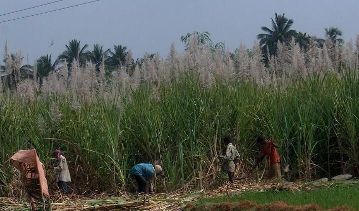 zdjecie przedstawia ludzi pracujacych na plantacji trzciny cukrowej