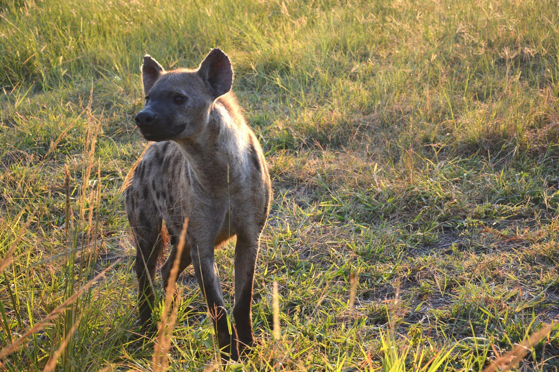 Fotografia przedstawia cętkowaną hienę, która obgryza kości dużej czaszki bawoła. Hiena przypomina psa zdługą, kudłatą sierścią. Głowa zprawej, mocne szczęki hieny bokiem zaciśnięte na kościach, pysk lekko otwarty. Czarne grube rogi, wieńczące czaszkę leżą na ziemi.