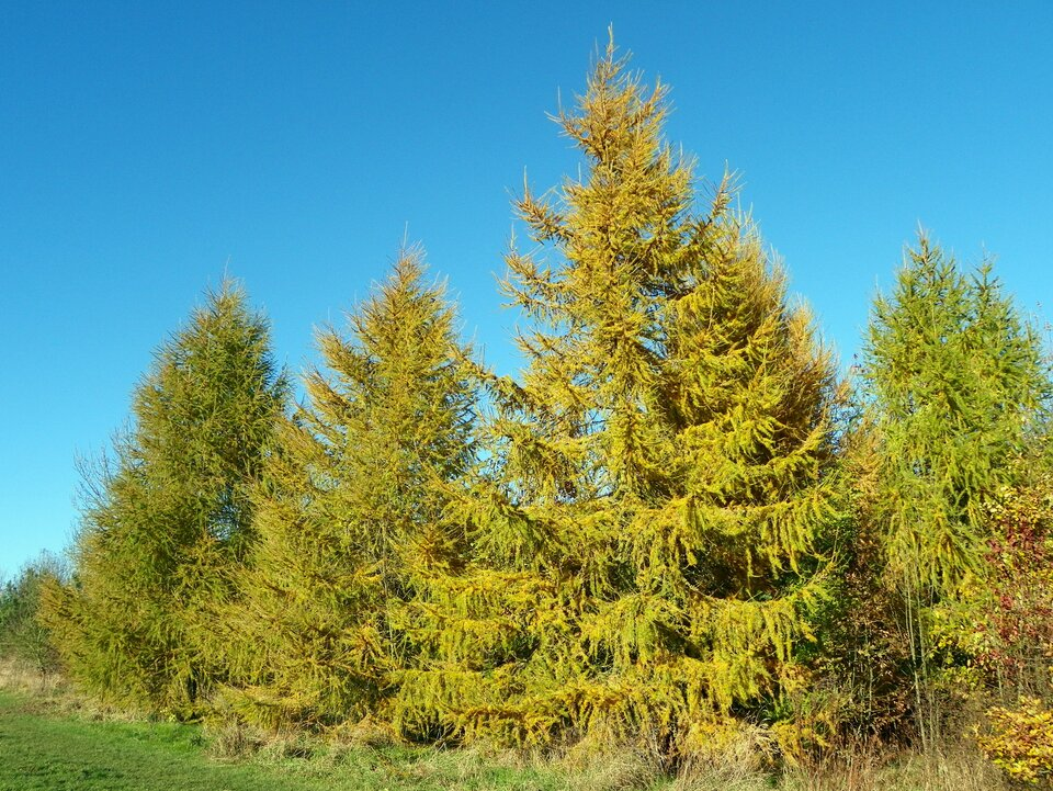 Zdjęcie przedstawia modrzew. Jest to wysokie drzewo iglaste. Drzewo iszerokie gałęzie zajmują całe zdjęcie. Gałęzie drzewa są bardzo rozłożyste. Igły na drzewie mają kolor żółtawy. Modrzew to jedyne drzewo iglaste, które traci igły jesienią.