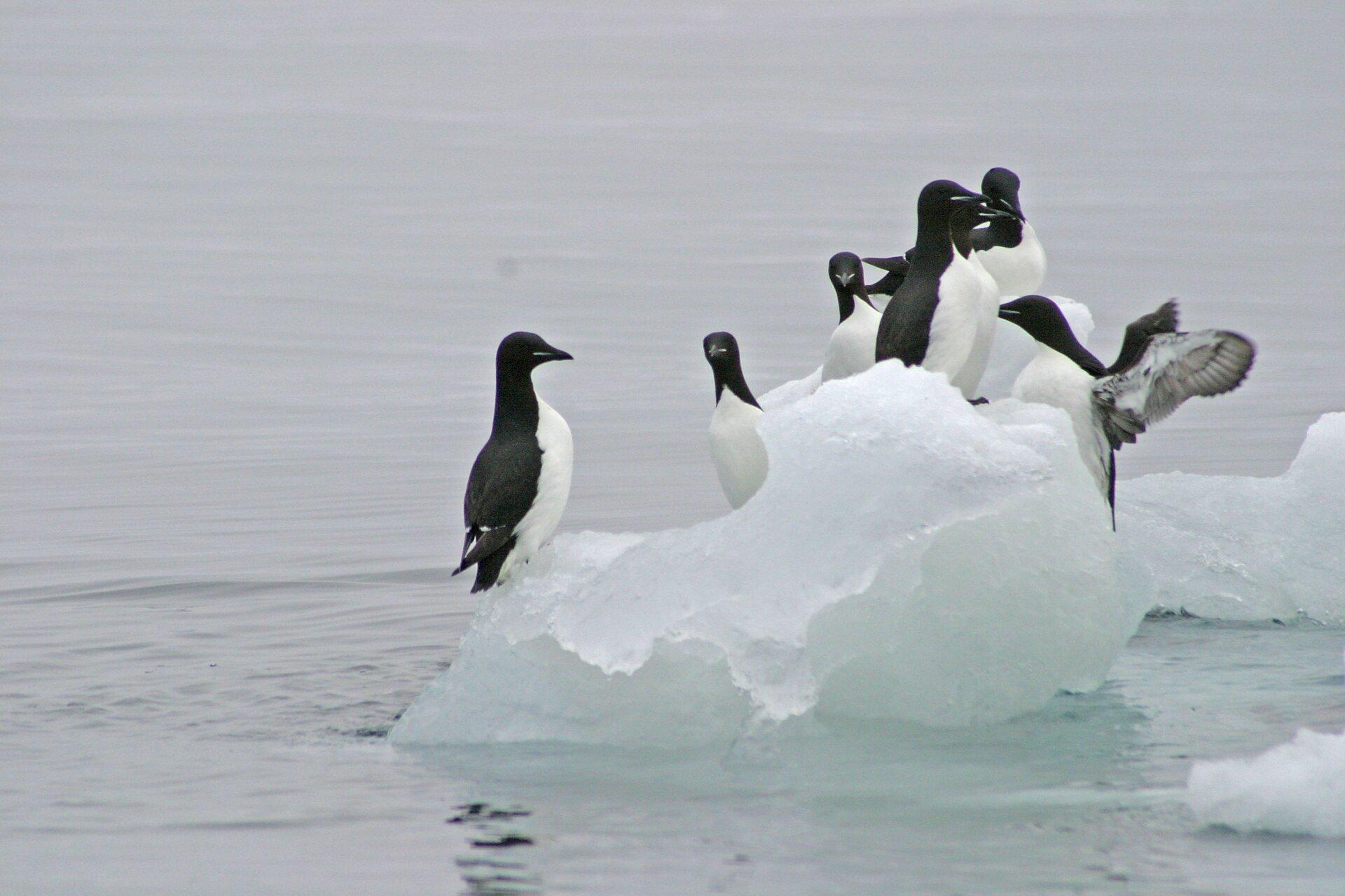 Fotografia prezentuje grupę ptaków – nurzyków, siedzących na kawałku kry. Nurzyki mają czarną głowę igrzbiet oraz białą pierś ibrzuch.