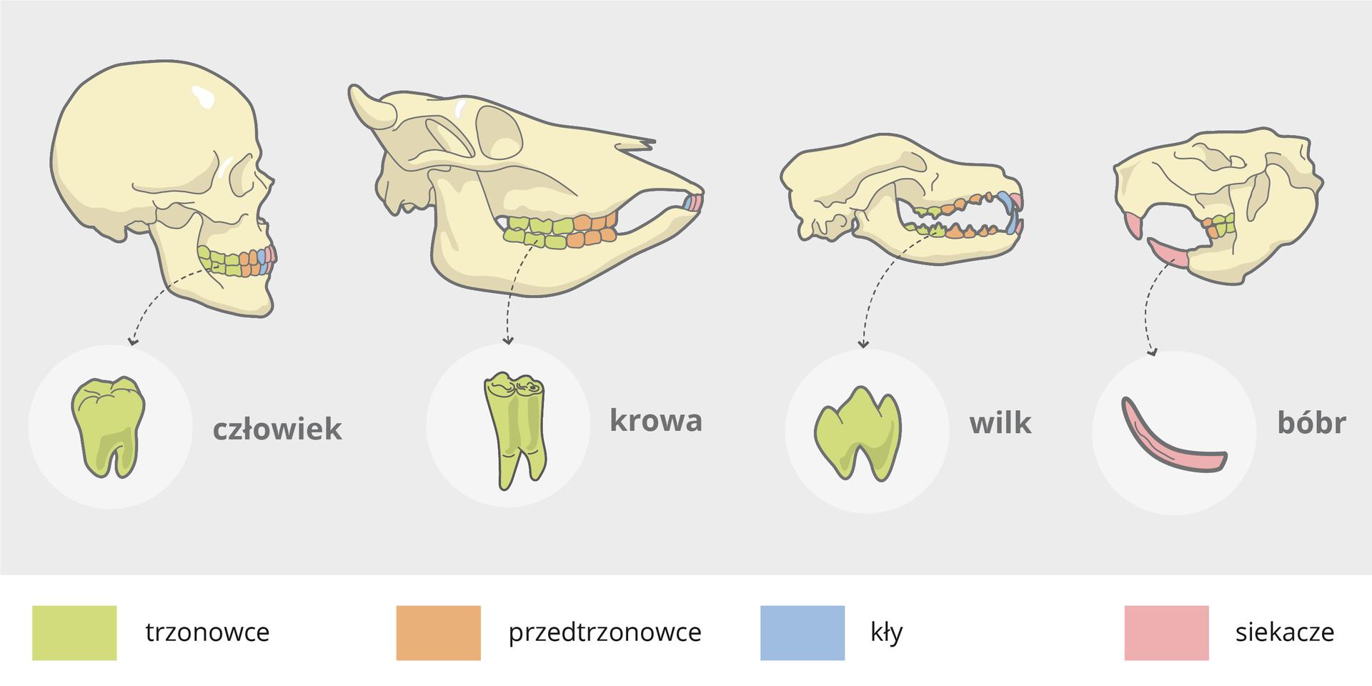 Ilustracja przedstawia 4 czaszki zzębami, oznaczonymi kolorami. Trzy są bokiem wprawo, ostatnia bokiem wlewo. Ten sam kolor oznacza ten sam rodzaj zębów. Zielony to trzonowce, pomarańczowy przedtrzonowce, niebieski kły iróżowy siekacze. Od lewej czaszka: człowieka, krowy , wilka ibobra. Pod czaszkami powiększenie zębów dla porównania kształtu.