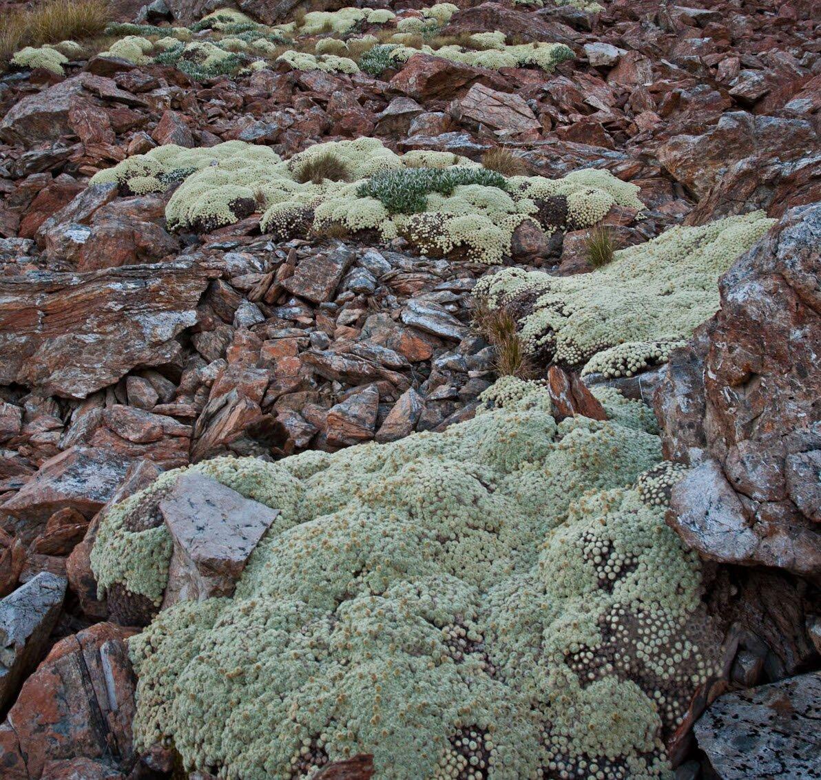 Zdjęcie przedstawia roślinę wpostaci licznych kęp ogęstej, zwartej budowie. Pokrywa ona podłoże skalne.