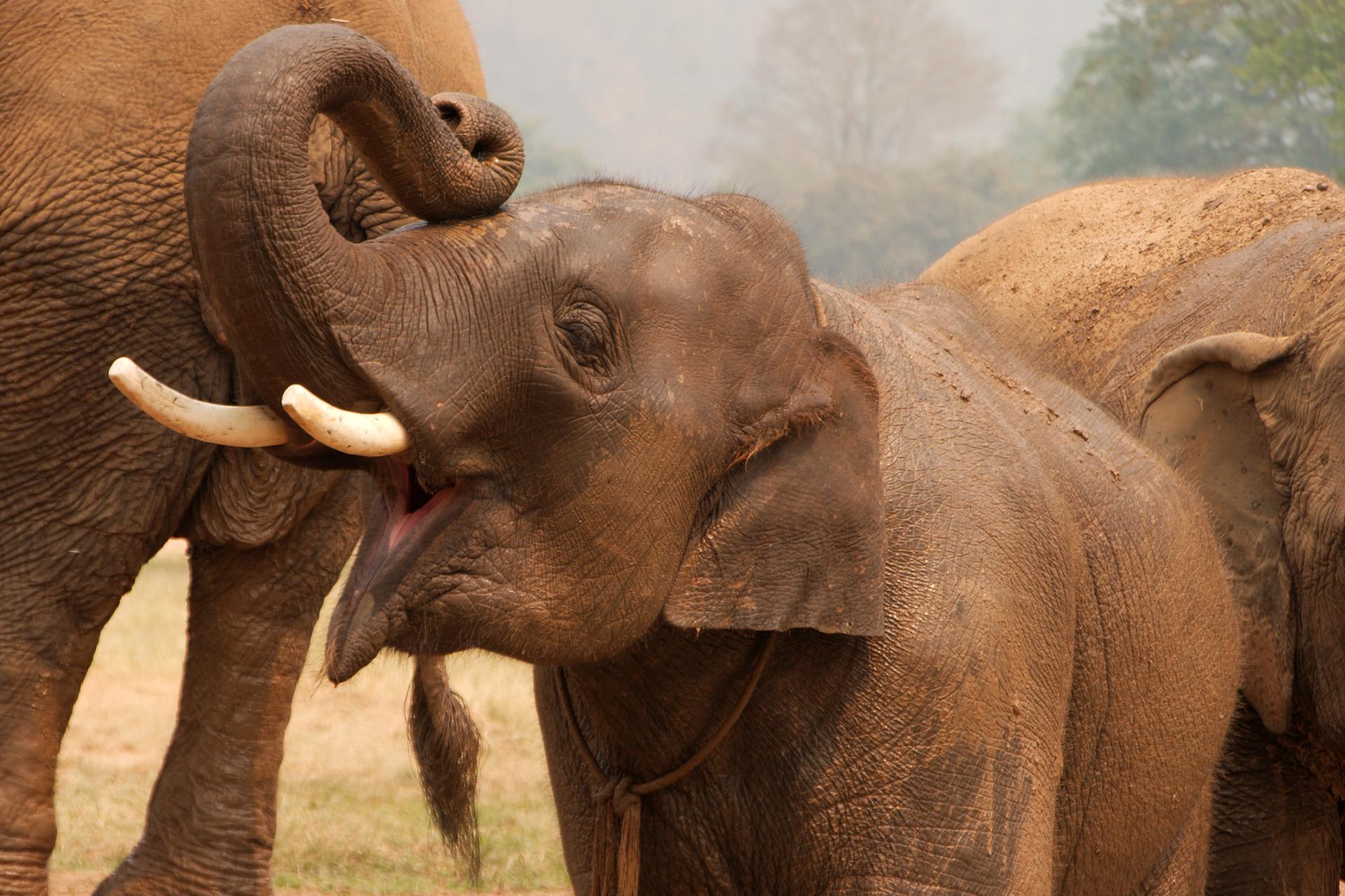 Zdjęcie przedstawia słonia zpodniesioną trąbą.