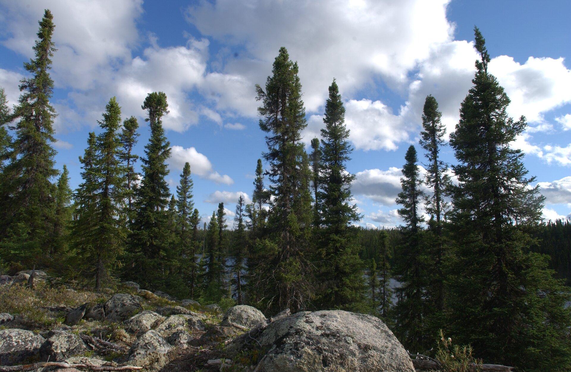 Fotografia prezentuje wąskie, strzeliste korony świerków na tle pokrytego chmurami nieba.