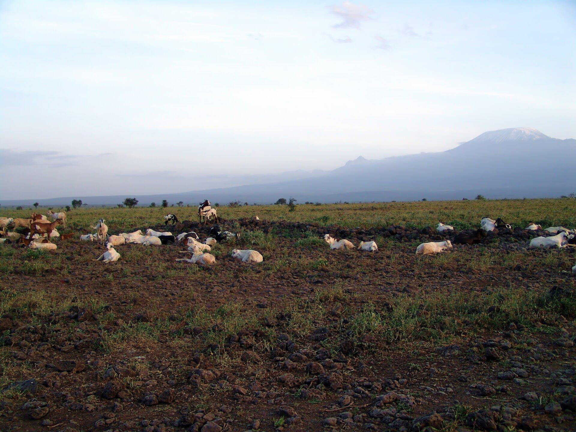 Fotografia prezentuje stado kóz wypoczywających na równinnej sawannie. Zwierzęta leżą na brązowej ziemi, wokół wyskubane kępki trawy. Wtle widać górę Kilimandżaro.