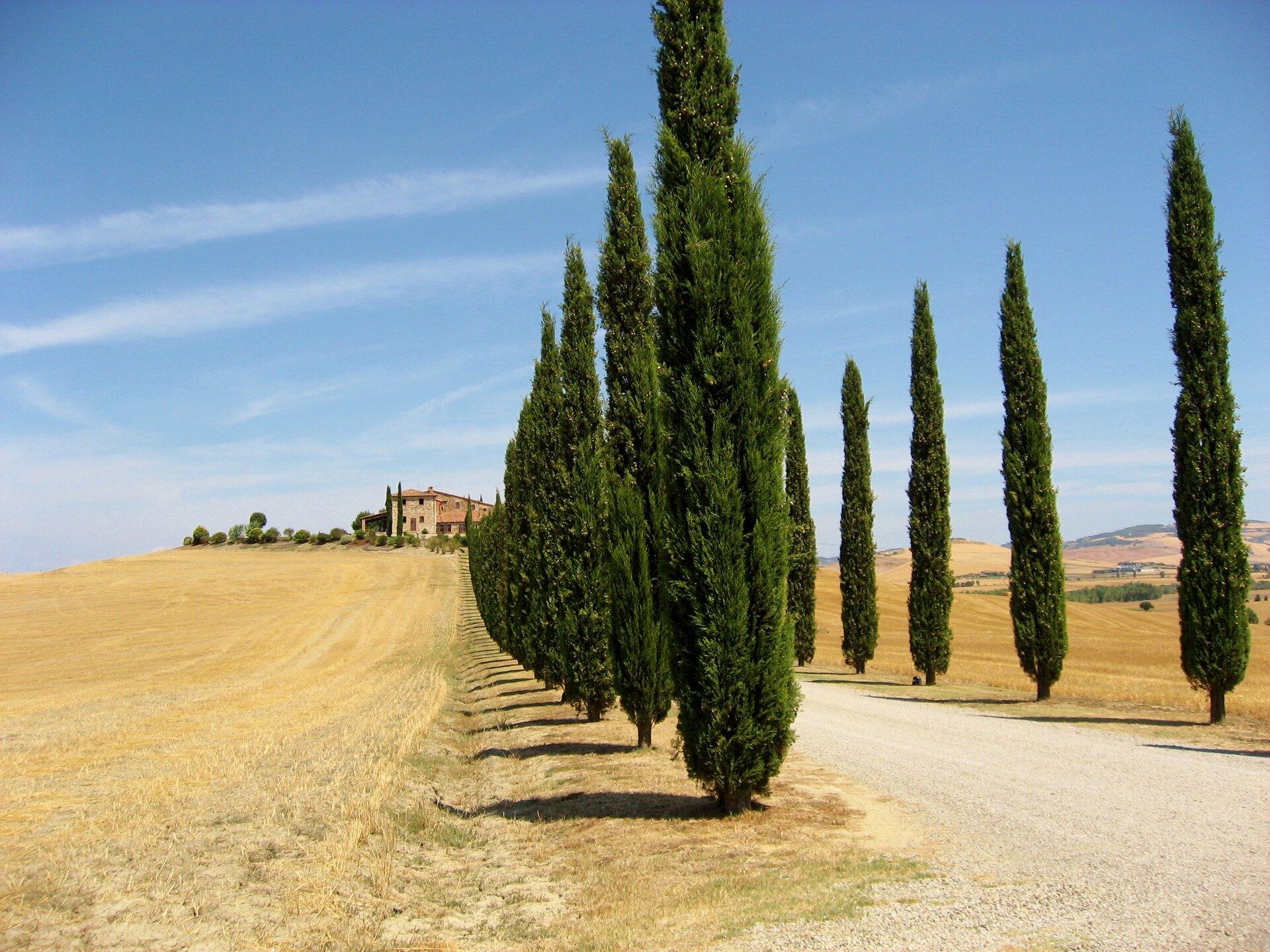 Na zdjęciu aleja zielonych cyprysów wzdłuż żwirowej drogi. Wtle zabudowania. Dookoła skoszone pola.