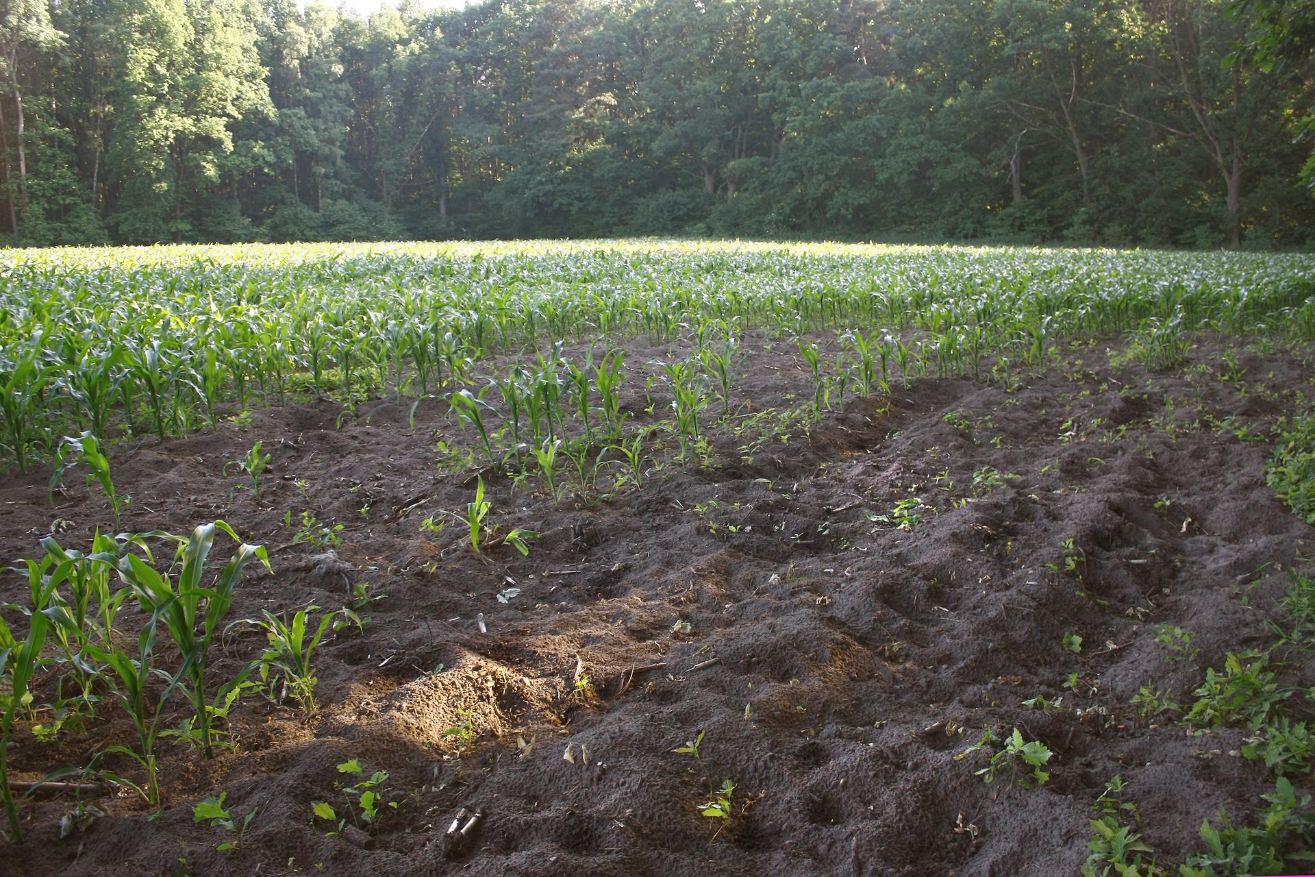 Fotografia przedstawia pole kukurydzy pod lasem. Część pola jest zryta, ze śladami zwierząt. Rośliny zostały wykopane przez dziki. Rolnik poniósł szkodę.