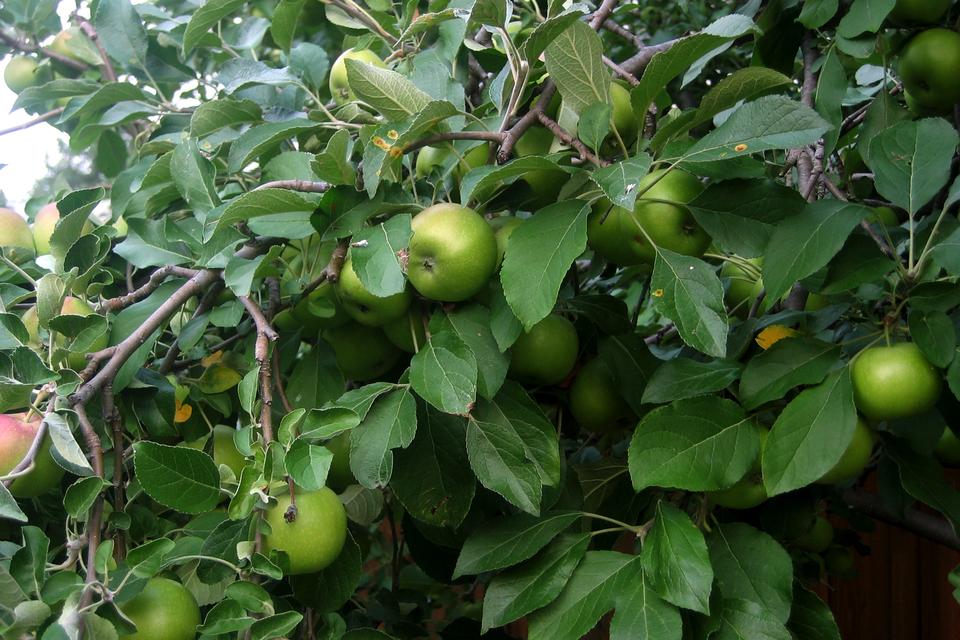 Zdjęcie przedstawiające niedojrzałe, zielone jabłka wiszące na drzewie