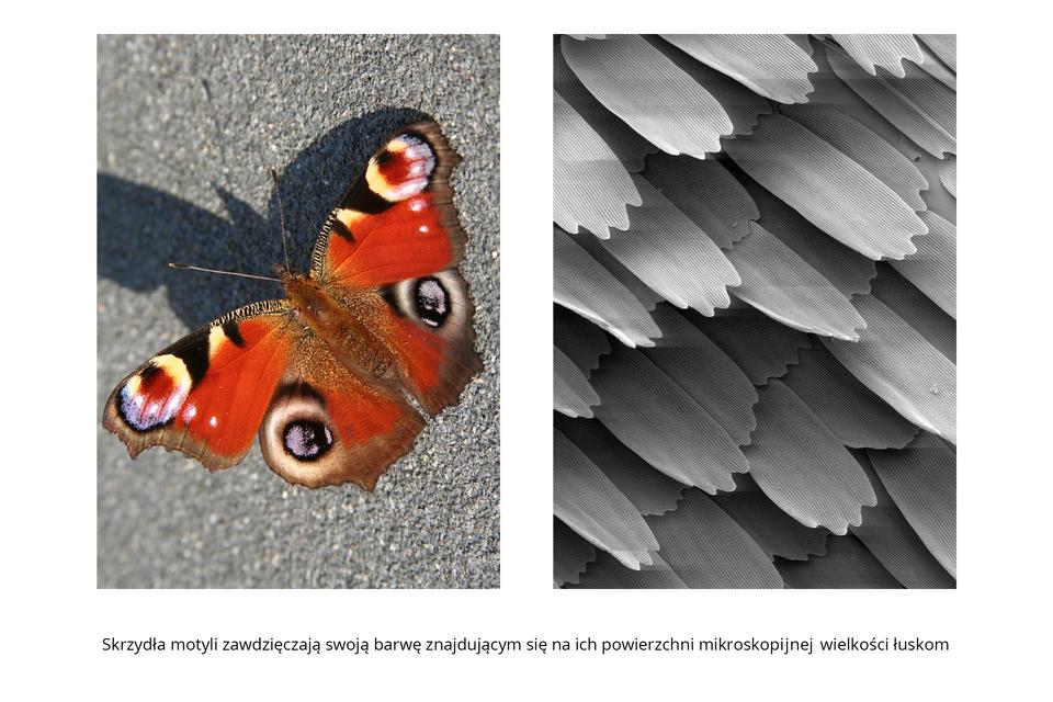 Wgalerii znajdują się pary fotografii, przedstawiające różne owady iich larwy. Fotografia zlewej przedstawia zgóry siedzącego na szarej powierzchni motyla. Głowa wlewo do góry, zdługimi, cienkimi czułkami ze zgrubieniem na końcu. Ciało ukosem, zrozłożonymi, kolorowymi skrzydłami. Na obu parach czerwonych skrzydeł wzór wkształcie kół, czarno obrzeżonych. Na skrzydłach pierwszej pary wnętrze kół biało – czerwone, zdomieszką błękitu. Na dolnych skrzydłach wnętrze kół szarobiałe, przypominają oczy. Szara fotografia zmikroskopu elektronowego po prawej przedstawia łuski ze skrzydeł motyla. Są wydłużone, ułożone ukośnie dachówkowato. Dzięki nim skrzydła są barwne.