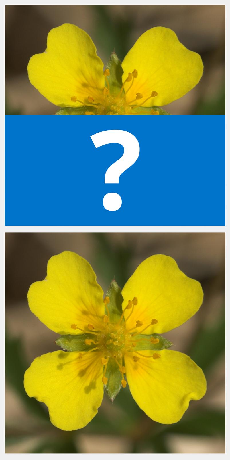 Ilustracja interaktywna jest podzielona na dwie części. Górna przedstawia dwa żółte płatki kwiatu, czyli jego połowę. Wśrodku wyrastają żółte pręciki. Tło jest rozmazane. Drugą część zajmuje niebieski prostokąt ze znakiem zapytania. Po odwróceniu ilustracji ukazany jest cały kwiat osymetrycznym układzie płatków itych samych cechach.
