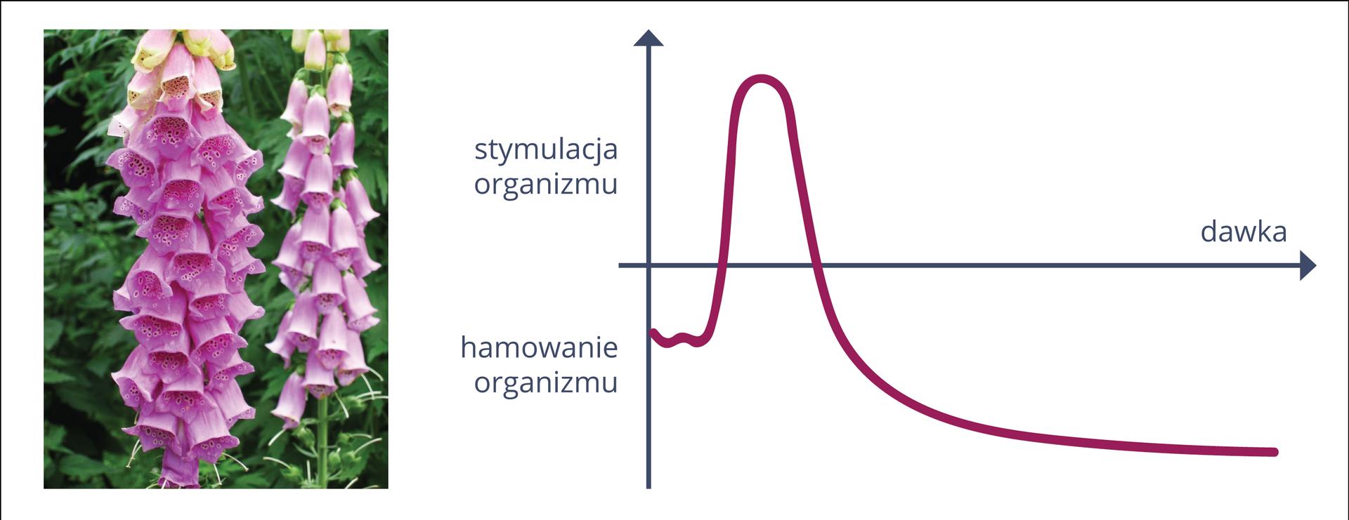 Na barwnej ilustracji przedstawiono działanie substancji na organizm. Po lewej zdjęcie różowych kwiatów naparstnicy. Mają kształt dzwonków. Po prawej wykres. Na pionowej strzałce napisy: udołu hamowanie organizmu, ugóry stymulacja organizmu. Oś pozioma na połowie wysokości przecina oś pionową. Na niej napis: dawka. Krzywa koloru fioletowego. Najpierw wznosi się, potem opada.