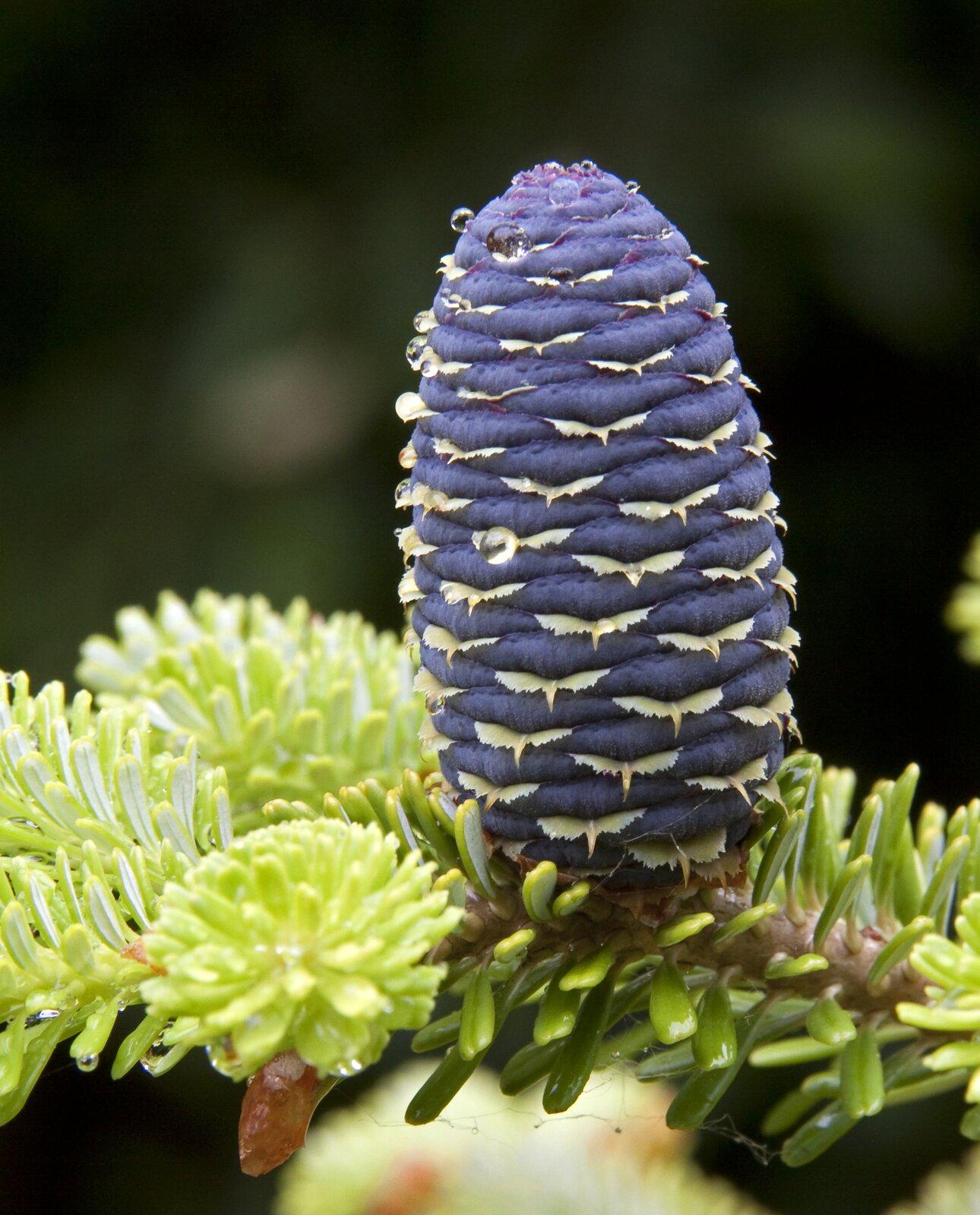 Fotografia prezentuje pęd jodły zjej fioletową szyszką rosnącą wgórę.