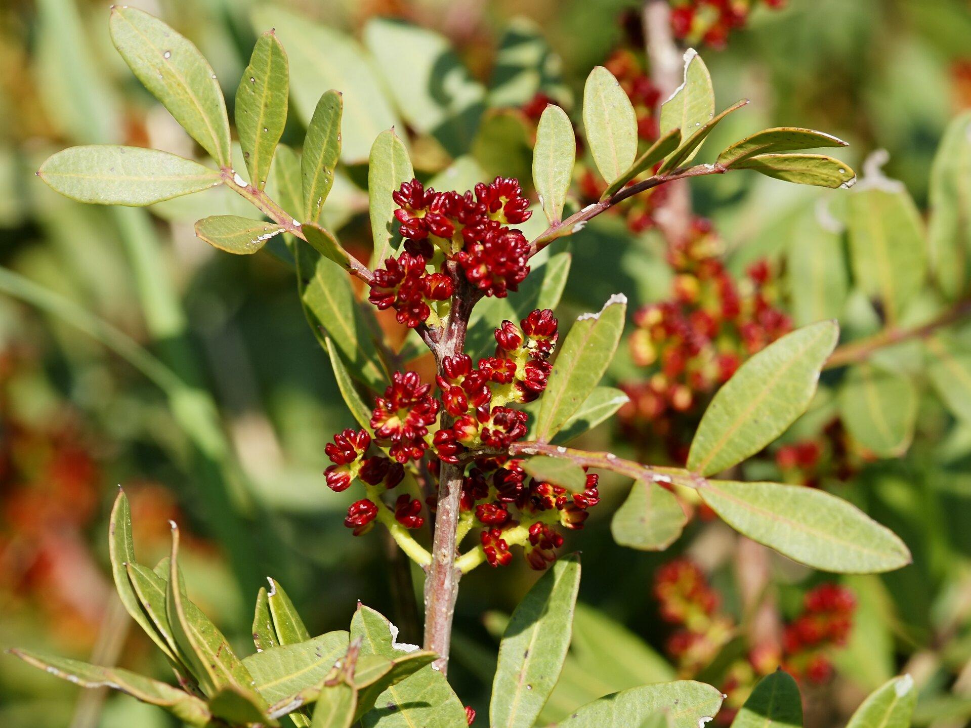 Na zdjęciu czerwone owoce pistacji na gałązce. Drobne, mięsiste, zebrane wgrona. Liście wąskie, złożone.