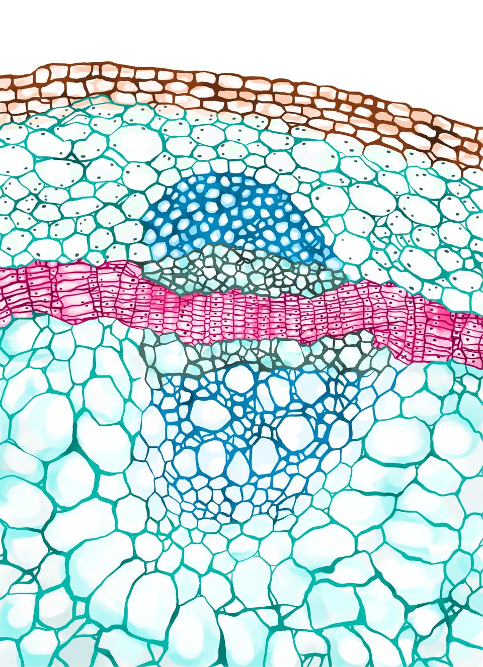 Ilustracja przedstawia fragment przekroju łodygi. Pomiędzy drewnem iłykiem występuje miazga.
