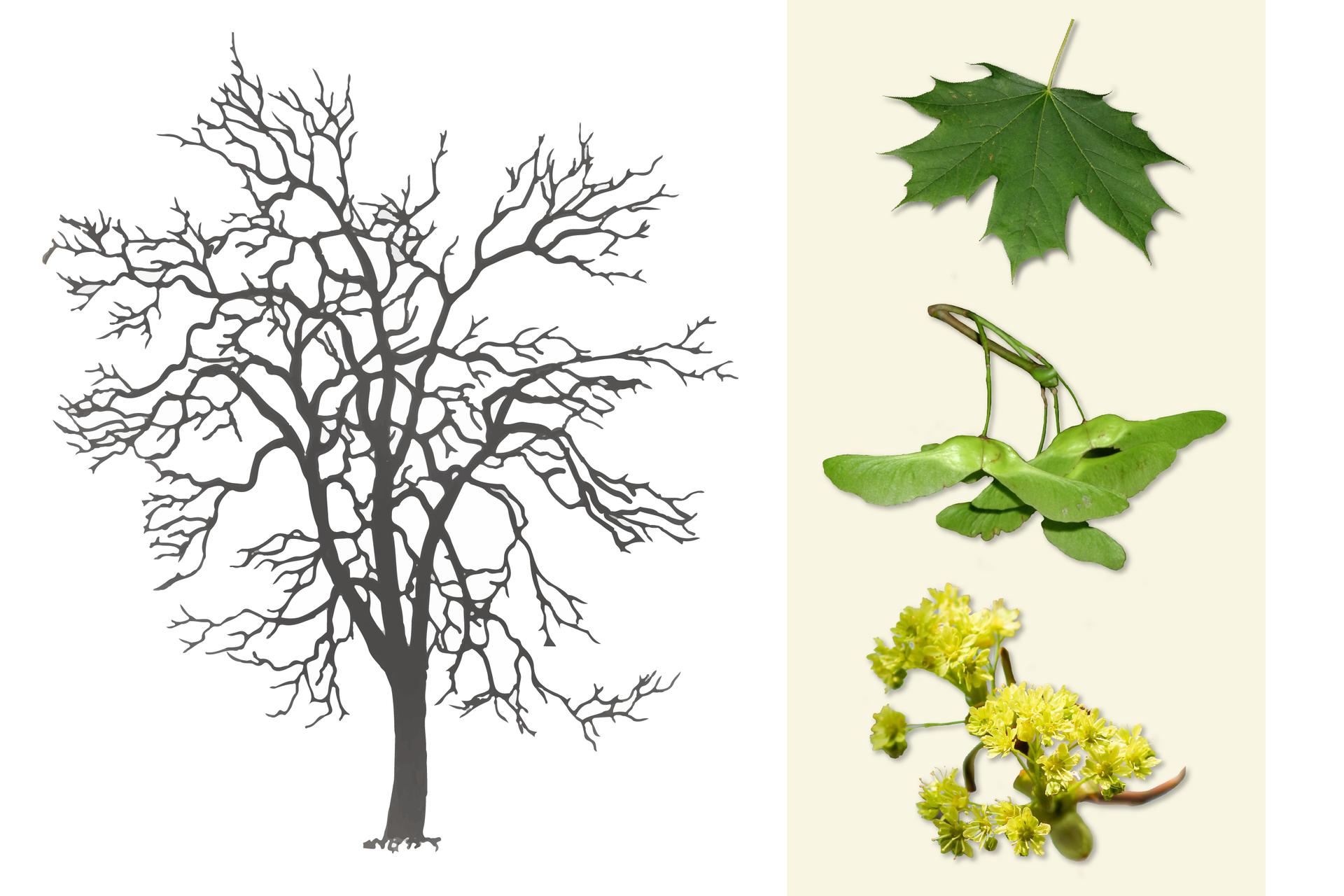 Ilustracja przedstawia ciemno szarą sylwetkę klonu. Po prawej od góry: pojedynczy ciemno zielonymi liść. Wśrodku zbliżenie owoców klonu, złączonych po dwa izwisających na długich ogonkach zgałązki. Poniżej gałązka zżółtymi, wzniesionymi, drobnymi kwiatami klonu.