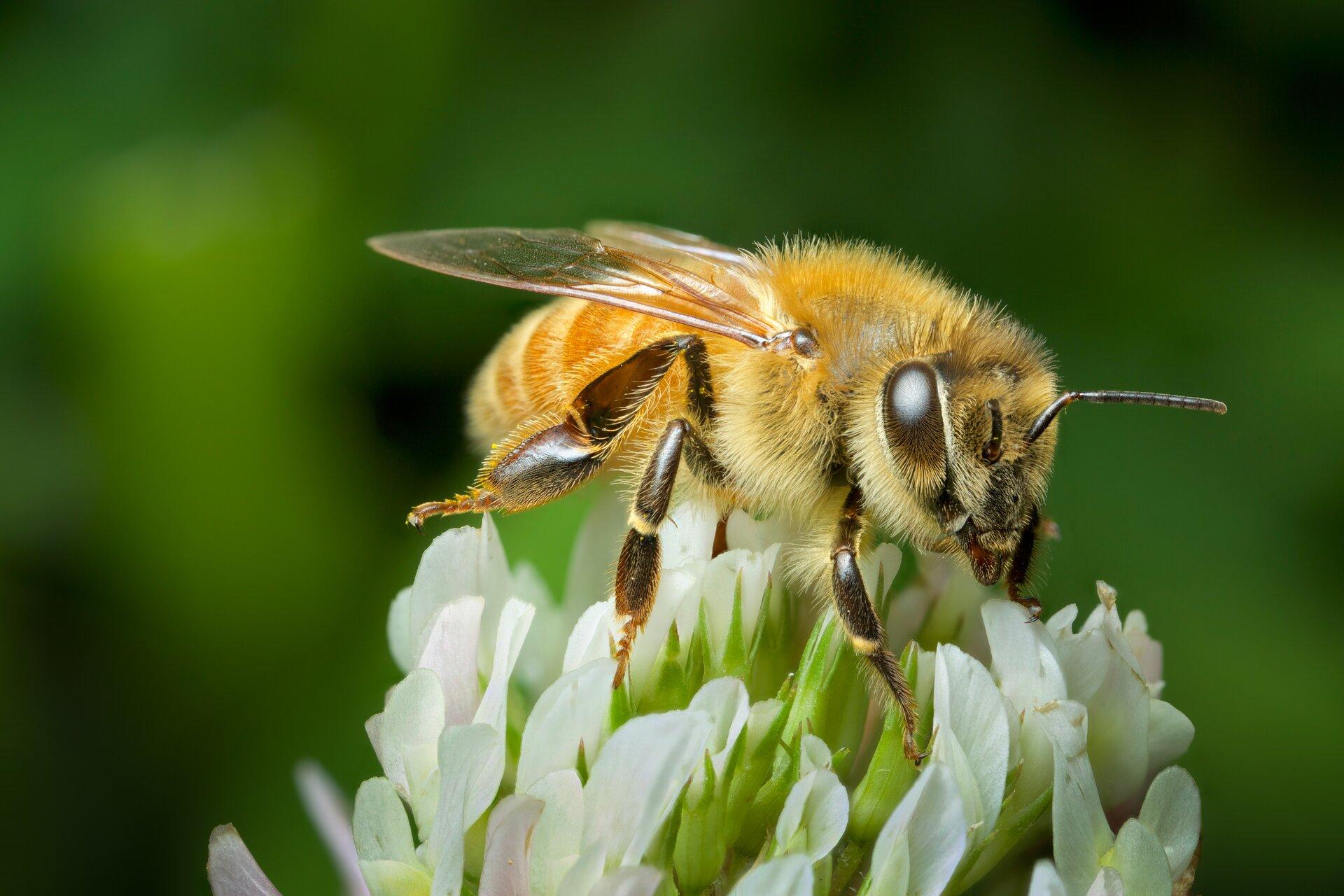 Fotografia przedstawia pszczołę siedząca na kwiecie. Zwierzę siedzi ustawione głową wprawo. Ciało jest ciemnożółte, pokryte gęstymi, krótkimi szczeninkami. Na głowie znajdują się duże brązowe oczy. Owad siedzi na odnóżach ciemnobrązowych, podzielonych na człony połączone stawami.
