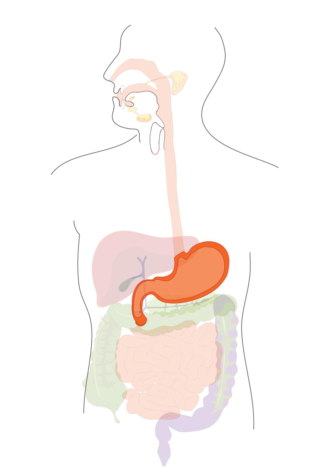 Ilustracja przedstawia schemat budowy układu pokarmowego człowieka naniesionego na obrys jego sylwetki. Na schemacie zaznaczono jamę ustną inosową, przełyk, żołądek, wątrobę, trzustkę iukład jelitowy. Wszystko, poza żołądkiem, jest półprzezroczyste. Żołądek wyróżniony jest pomarańczową barwą, ajego ścianki intensywnie pomarańczową.