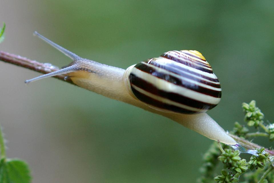 Wgalerii znajdują się fotografie przedstawicieli krajowych ślimaków. Fotografia przedstawia jasnego ślimaka zpasiastą muszlą. Pełznie na ukos po gałązce zgłową wlewo. To wstężyk ogrodowy.