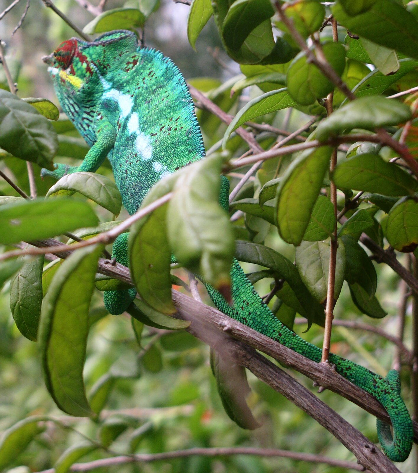 Kameleon Kameleon Źródło: Justyna Bajda, fotografia barwna, domena publiczna.