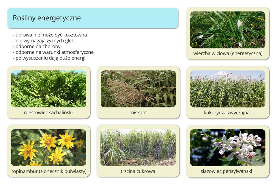 Infografika przedstawiająca rośliny energetyczne: wierzbę wiciową, rdestowiec sachaliński, miskant, kukurydzę zwyczajną, topinambur (słonecznik bulwiasty), trzcinę cukrową oraz ślazowiec pensylwański.
