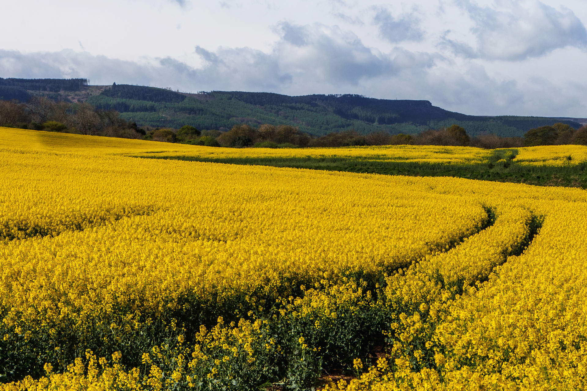 Fotografia przedstawia duże pole żółto kwitnącego rzepaku. Wtle wzgórza pokryte lasem. Pole uprawne to ekosystem sztuczny zmałą liczbą gatunków.