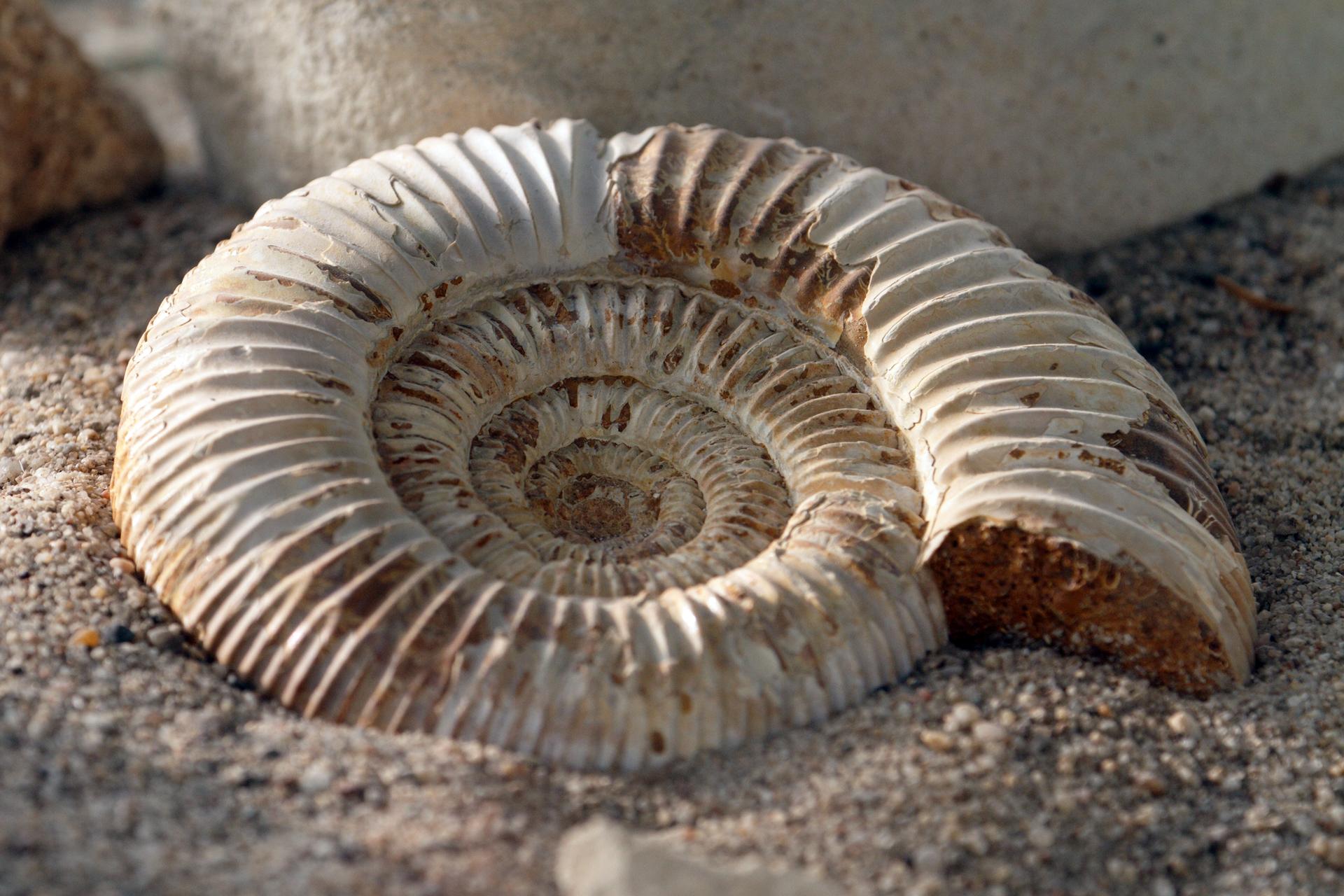 Fotografia przedstawia wzbliżeniu jasną, spiralnie skręconą, żeberkowaną muszlę amonita. Umieszczono ją na podłożu zpiasku.