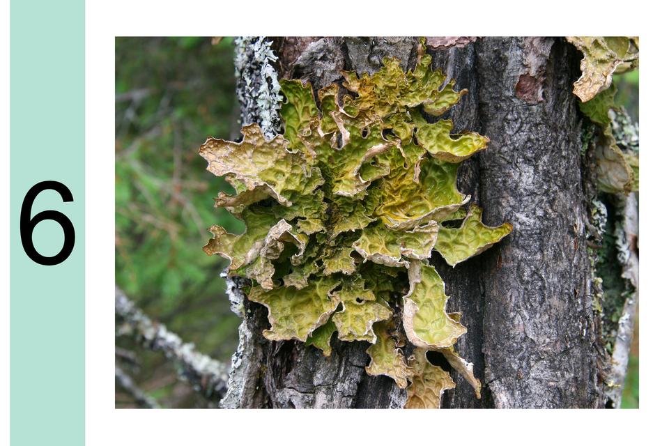 Fotografia prezentuje stopień 6 wskali porostowej. Na korze drzewa duży zielony krzaczkowaty porost.