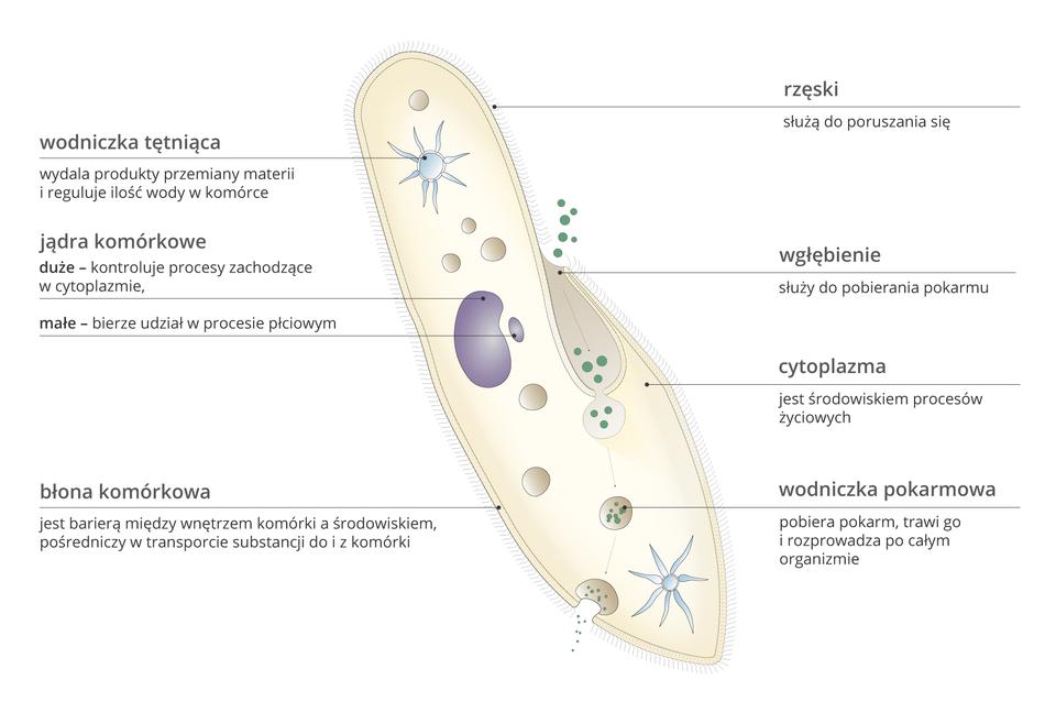 Ilustracja przedstawia duży, różowy podłużny kształt, podobny do pantofla, czyli komórkę pantofelka. Na zewnątrz zbłony komórkowej wyrasta wiele krótkich rzęsek. Wewnątrz znajdują się różne struktury. Błękitne gwiazdki oznaczają wodniczki tętniące: ugóry wypełniona wodą, udołu opróżniona. Fioletowe grudki to jądra komórkowe: duże imałe. Brązowe pęcherzyki wcytoplazmie przedstawiają wodniczki pokarmowe. Do zagłębienia po prawej wnikają zielone kropki – pokarm. Jest on następnie otaczany przez wodniczki itrawiony. Resztki są usuwane przez błonę komórkową, na dole po lewej.