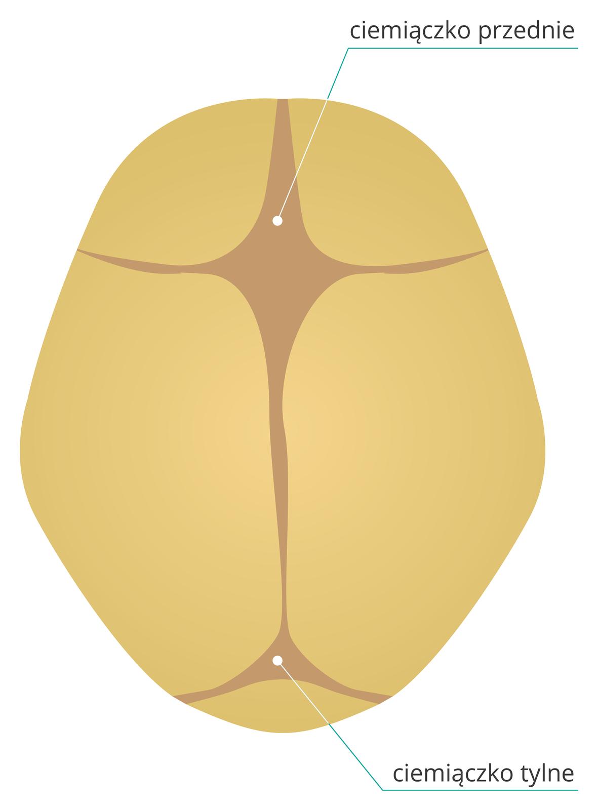 Ilustracja przedstawia brązową czaszkę noworodka zgóry. Płyty kostne stykają się ze sobą, amiędzy nimi ciemno zaznaczona błona, ciemiączko. Ugóry rombowate duże ciemiączko przednie, udołu mniejsze trójkątne ciemiączko tylne.