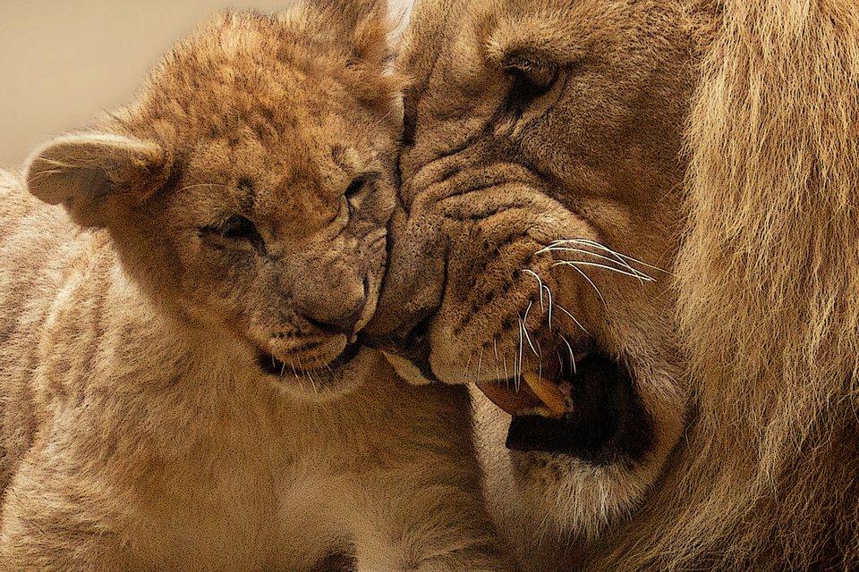 Młody lew przytula się do pyska dorosłego lwa, uktórego widać grzywę ikły.