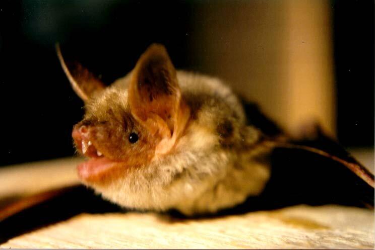 Fotografia nocna przedstawia zbliżenie nietoperza wlocie. To mroczek duży. Ma szeroko rozłożone błoniaste skrzydła rozpięte między długimi palcami iotwarty pyszczek zróżowym wnętrzem. Zwierzę ma duże uszy. Futerko jest jasnobrązowe, głowa iuszy czarne.